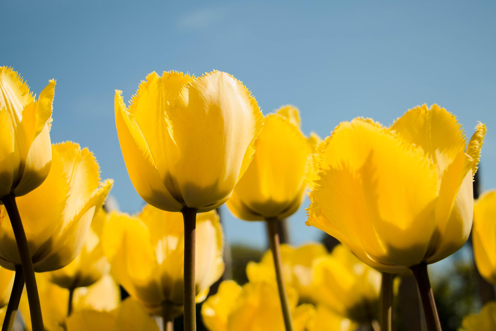 Photo in Nature #tulip #yellow #floral #flower #flowers