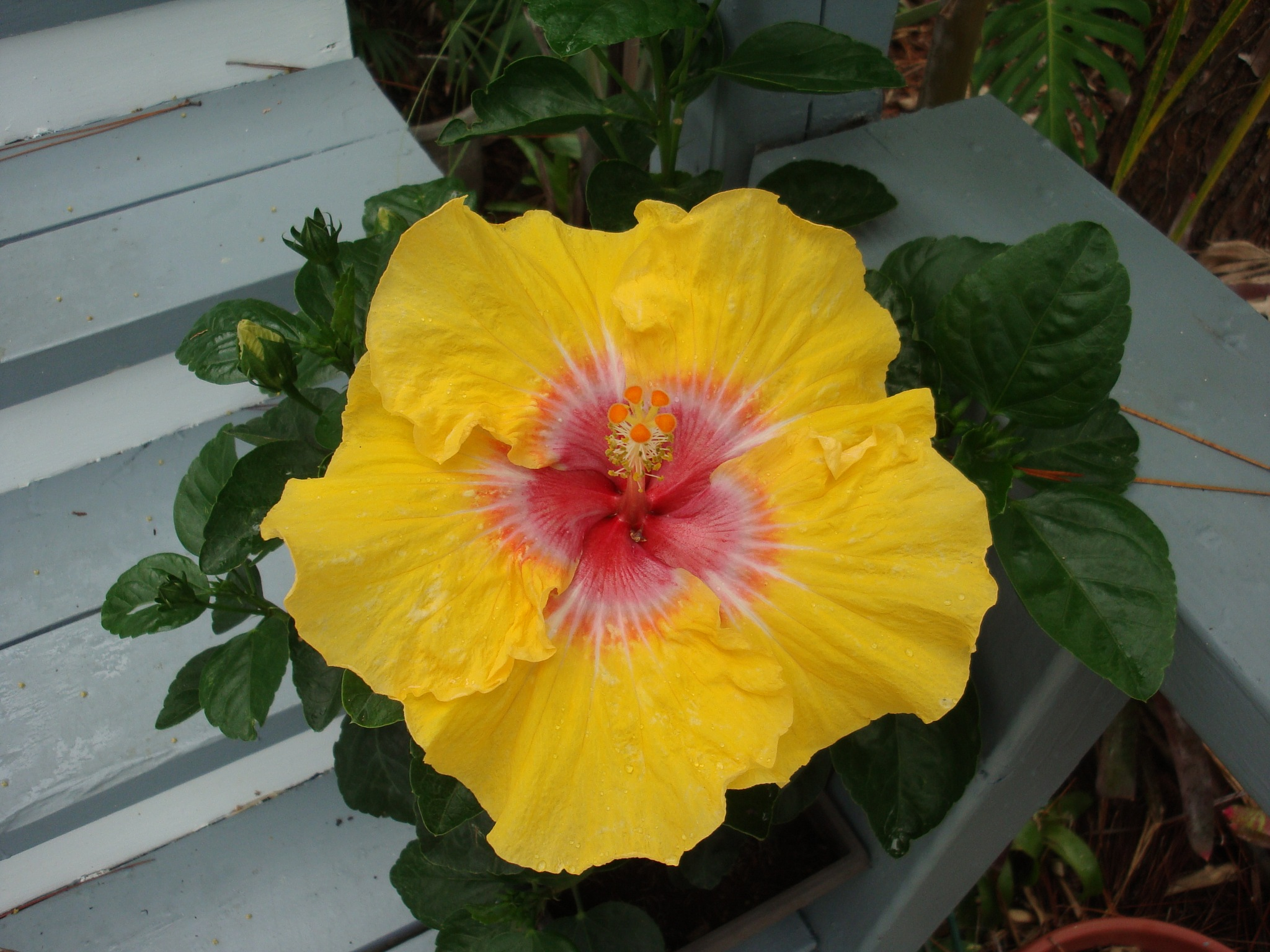 Beautiful Hibiscus by angie.case.77