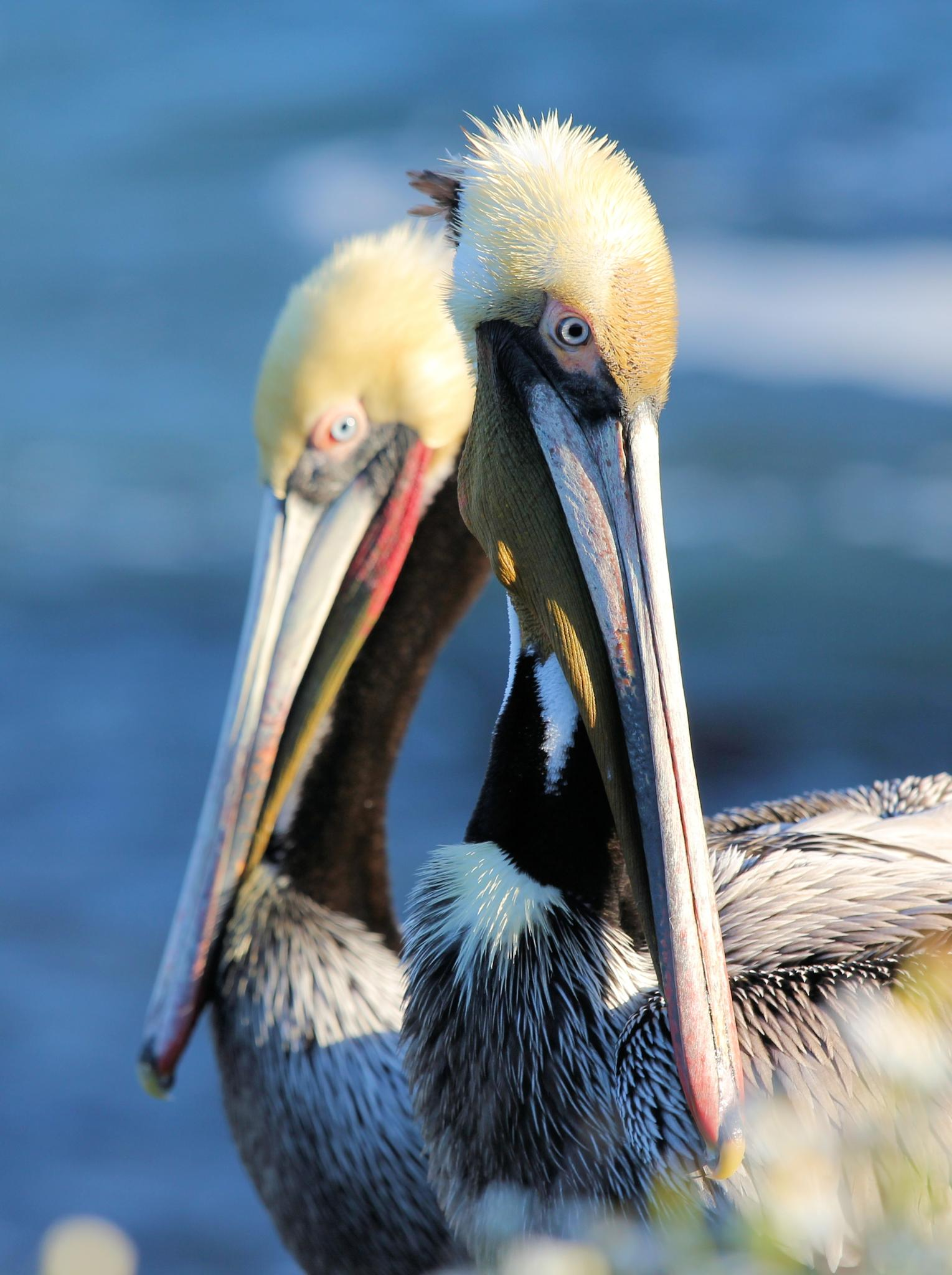 Pelicans at the cove by jane.girardot