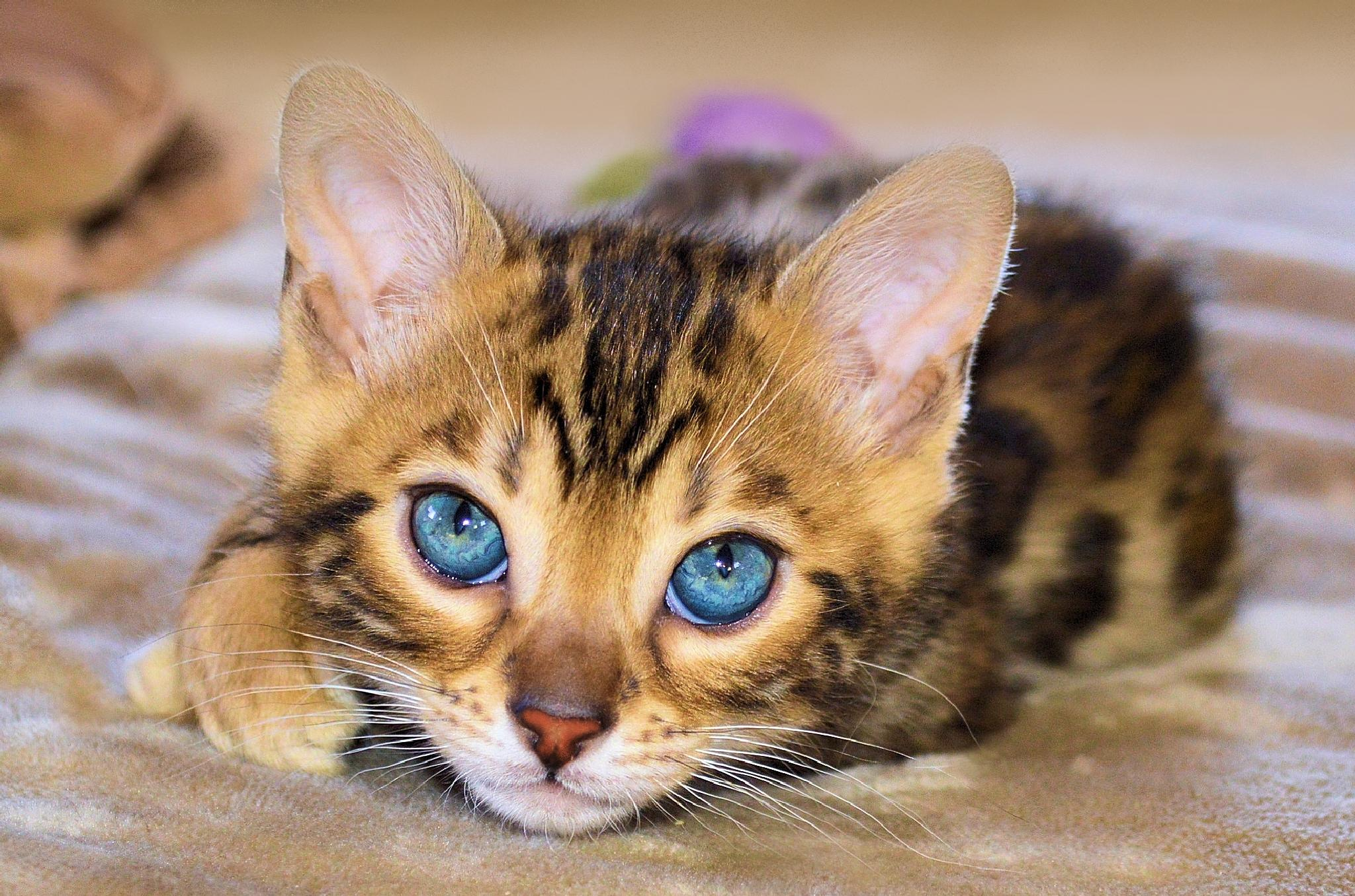 Bengal kitten by jane.girardot