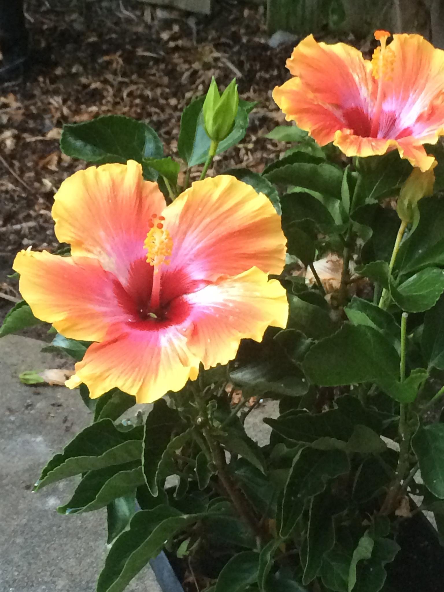 Hibiscus by fredda.j.thomas