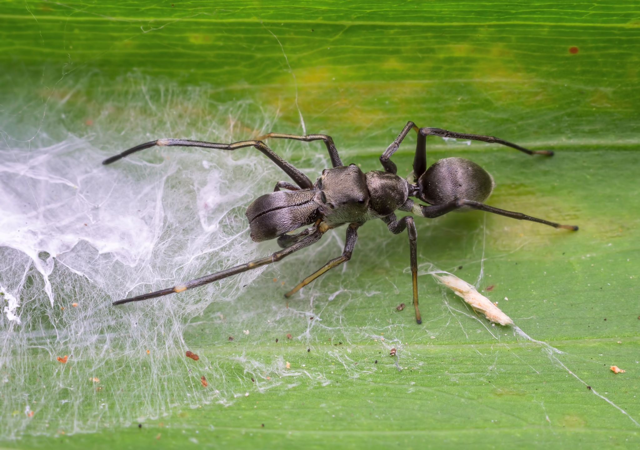 ant mimic king in the house. by injitinjitsemut3