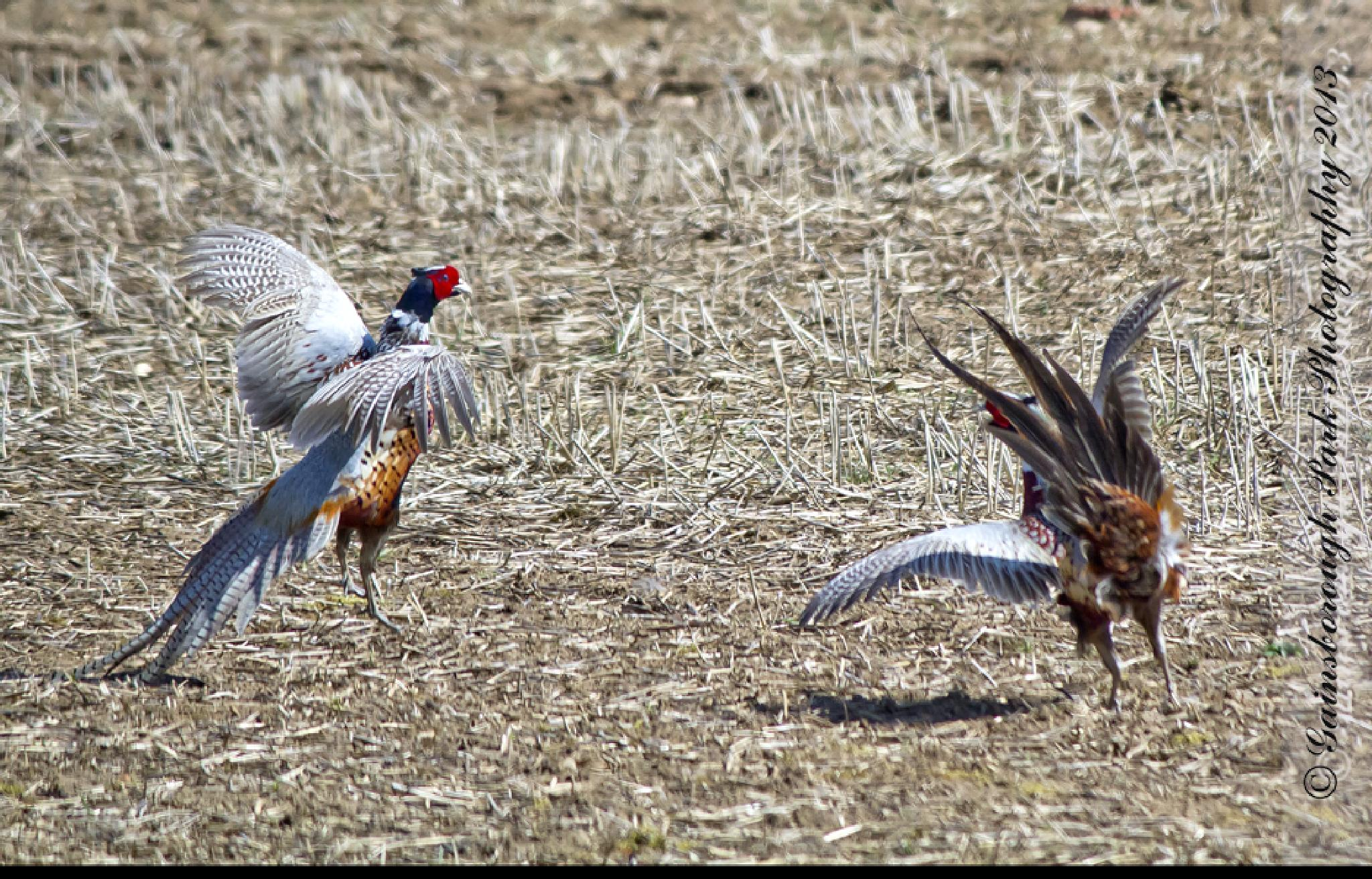 Fighting pheasants by Gainsborough Park Photography