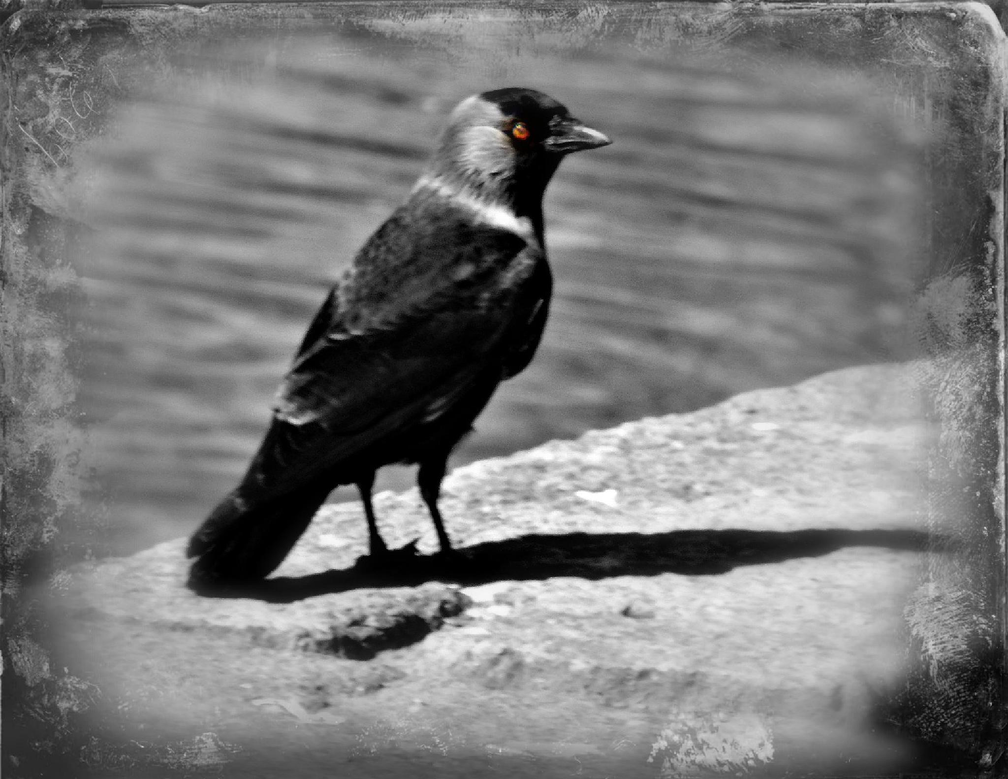 The black bird by ronnie.billstrom