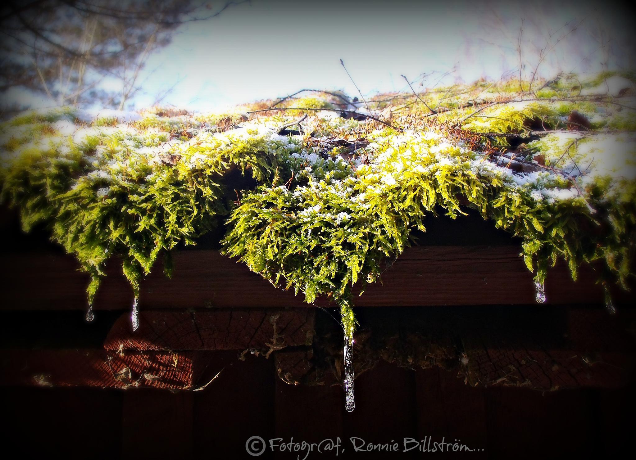 Green moss by ronnie.billstrom