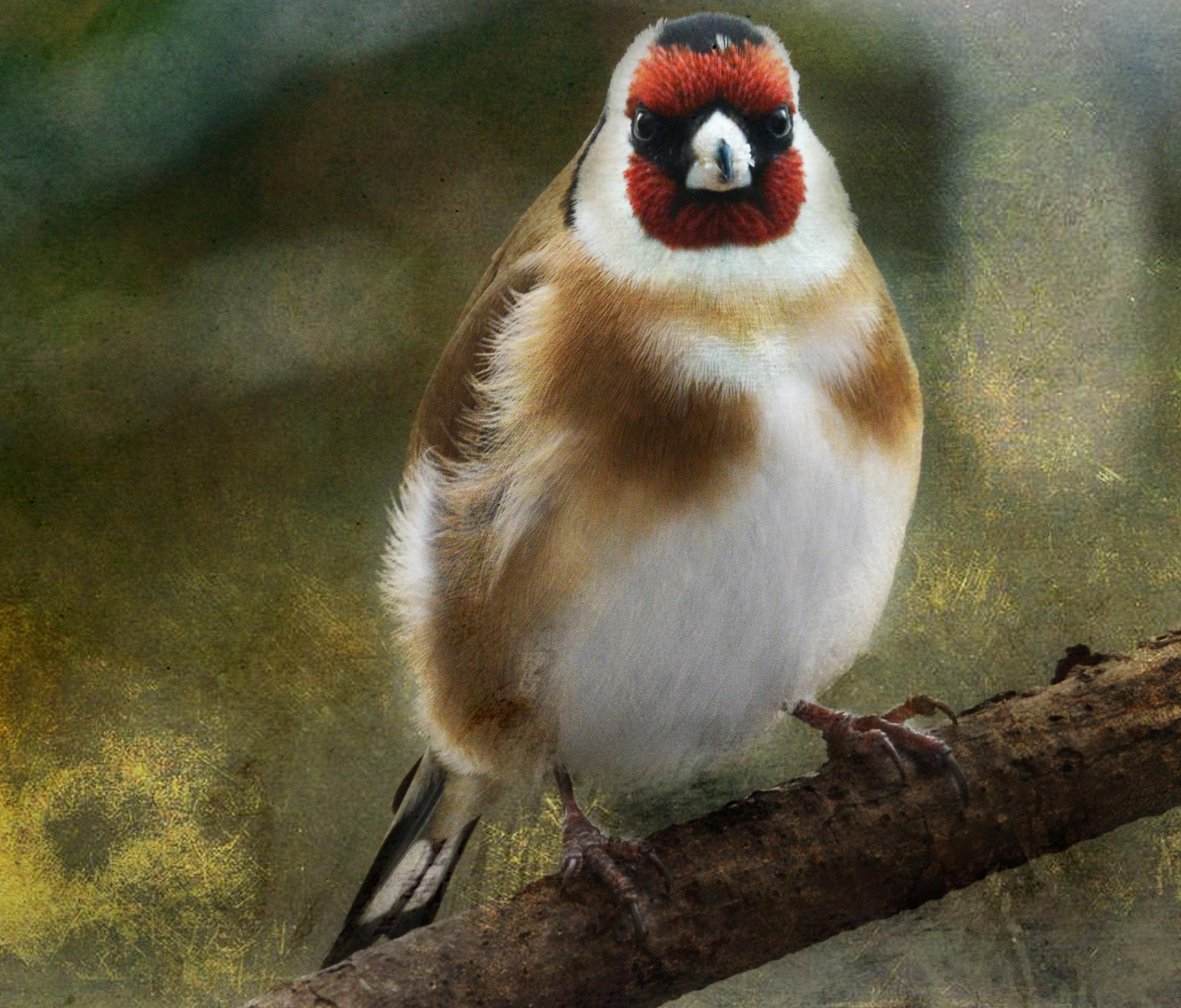 Goldfinch by ValerieBakerPhotographer
