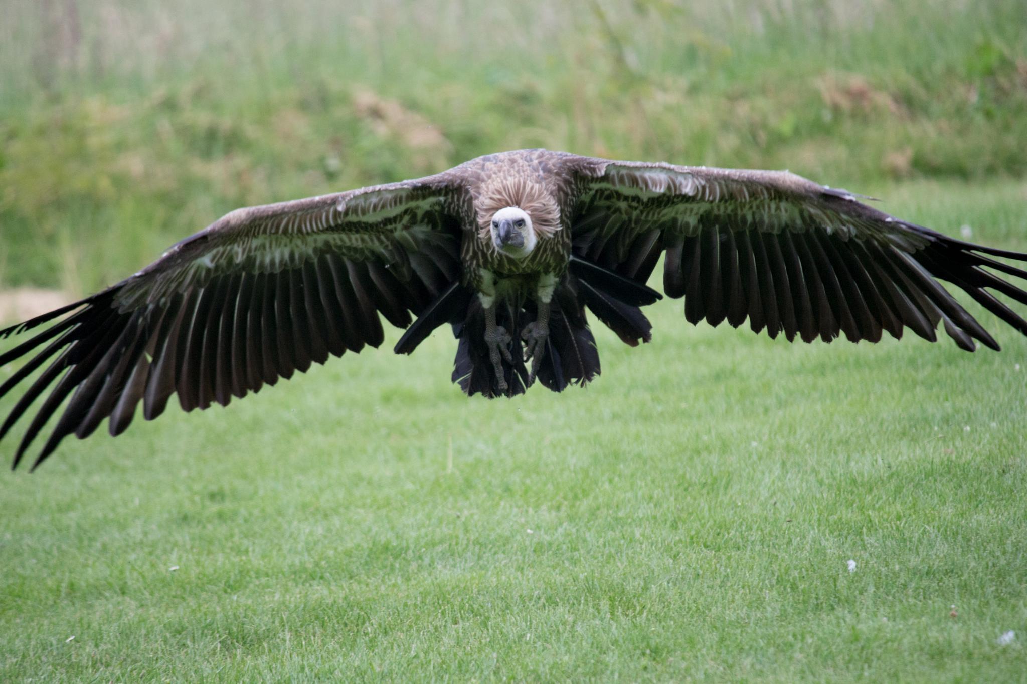 Griffon Vulture by Nikki Wilson