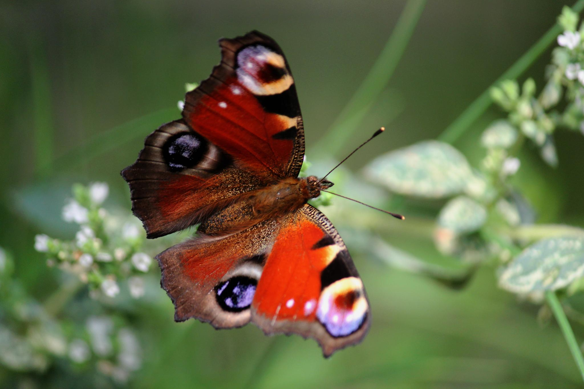Peacock Butterfly by Nikki Wilson