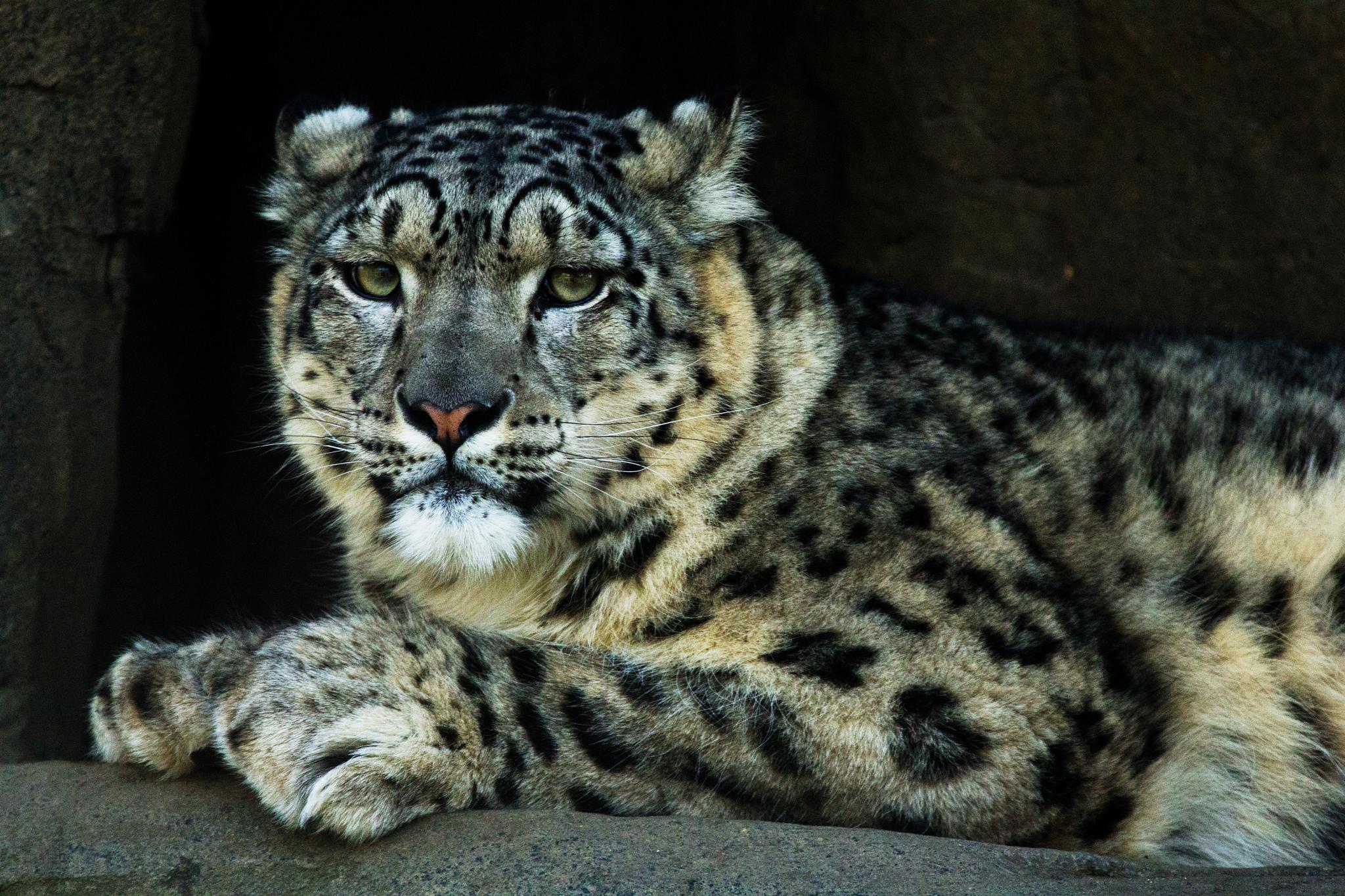 Snow Leopard by Nikki Wilson