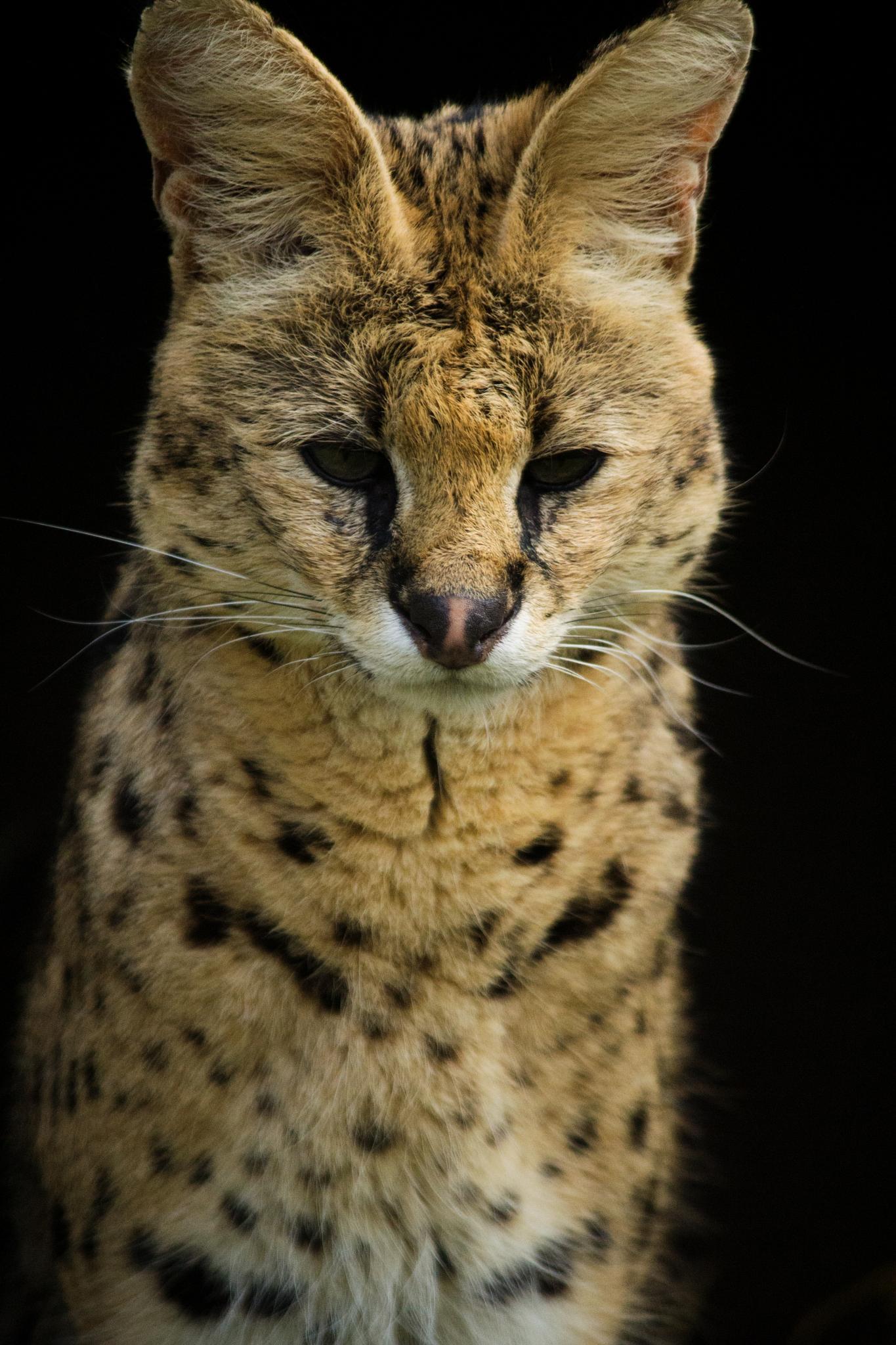 Serval by Nikki Wilson