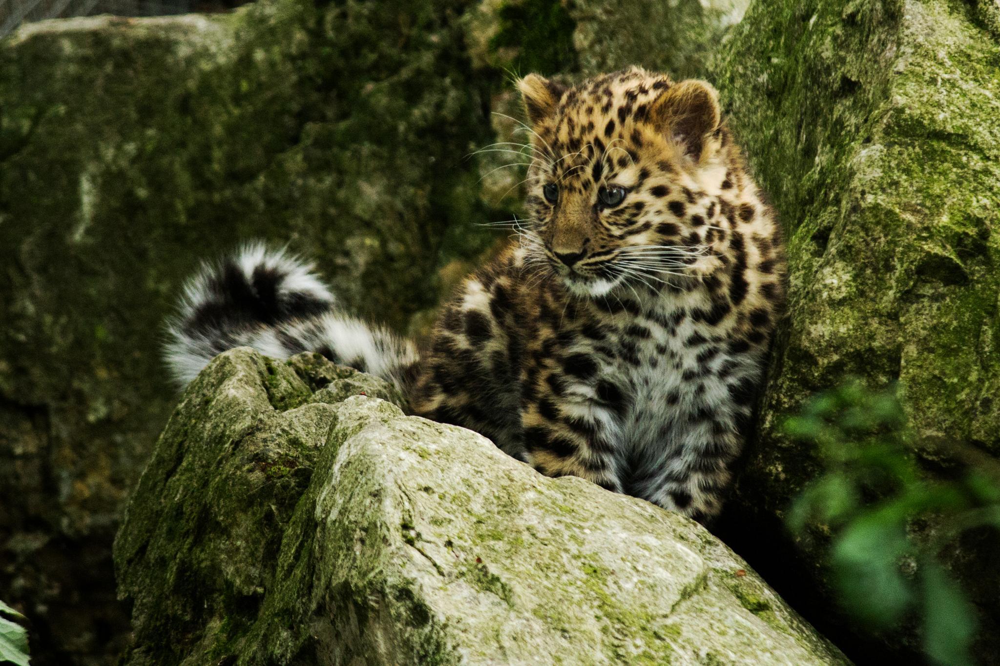 Amur Leopard Cub by Nikki Wilson