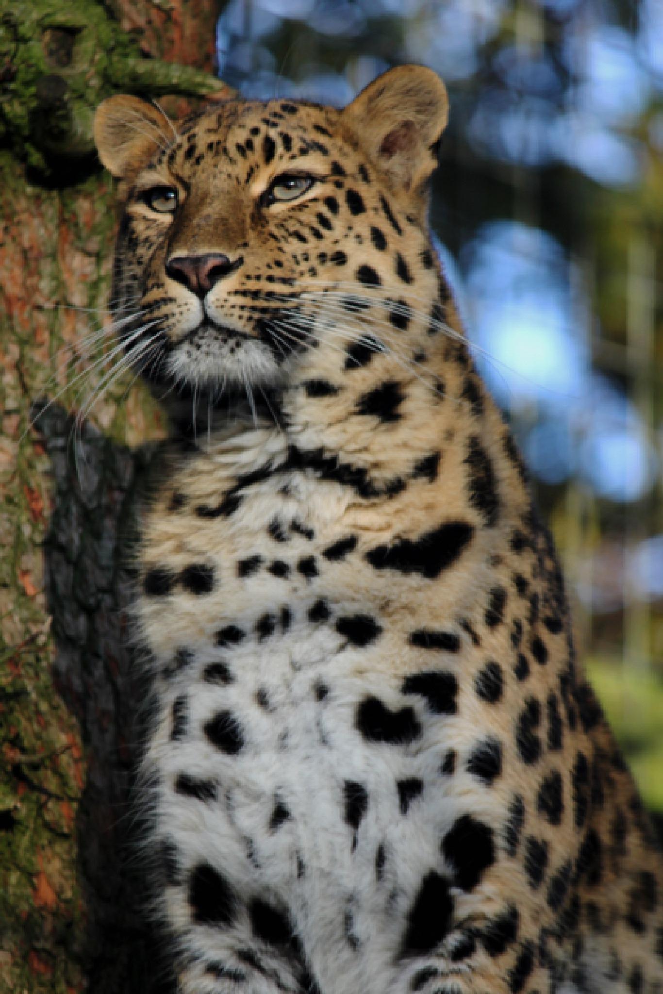 Leopard by Nikki Wilson