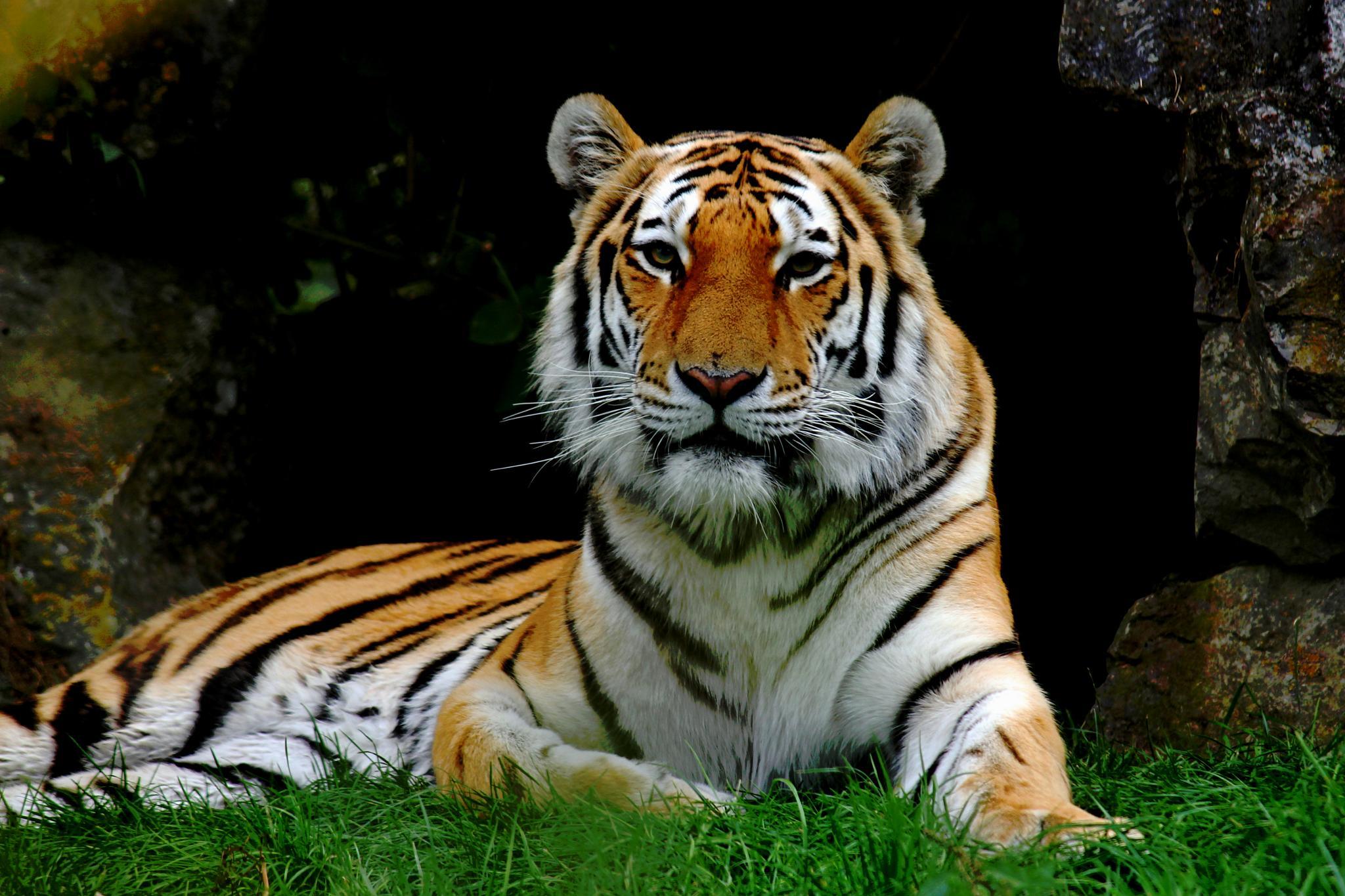Amur Tiger by Nikki Wilson