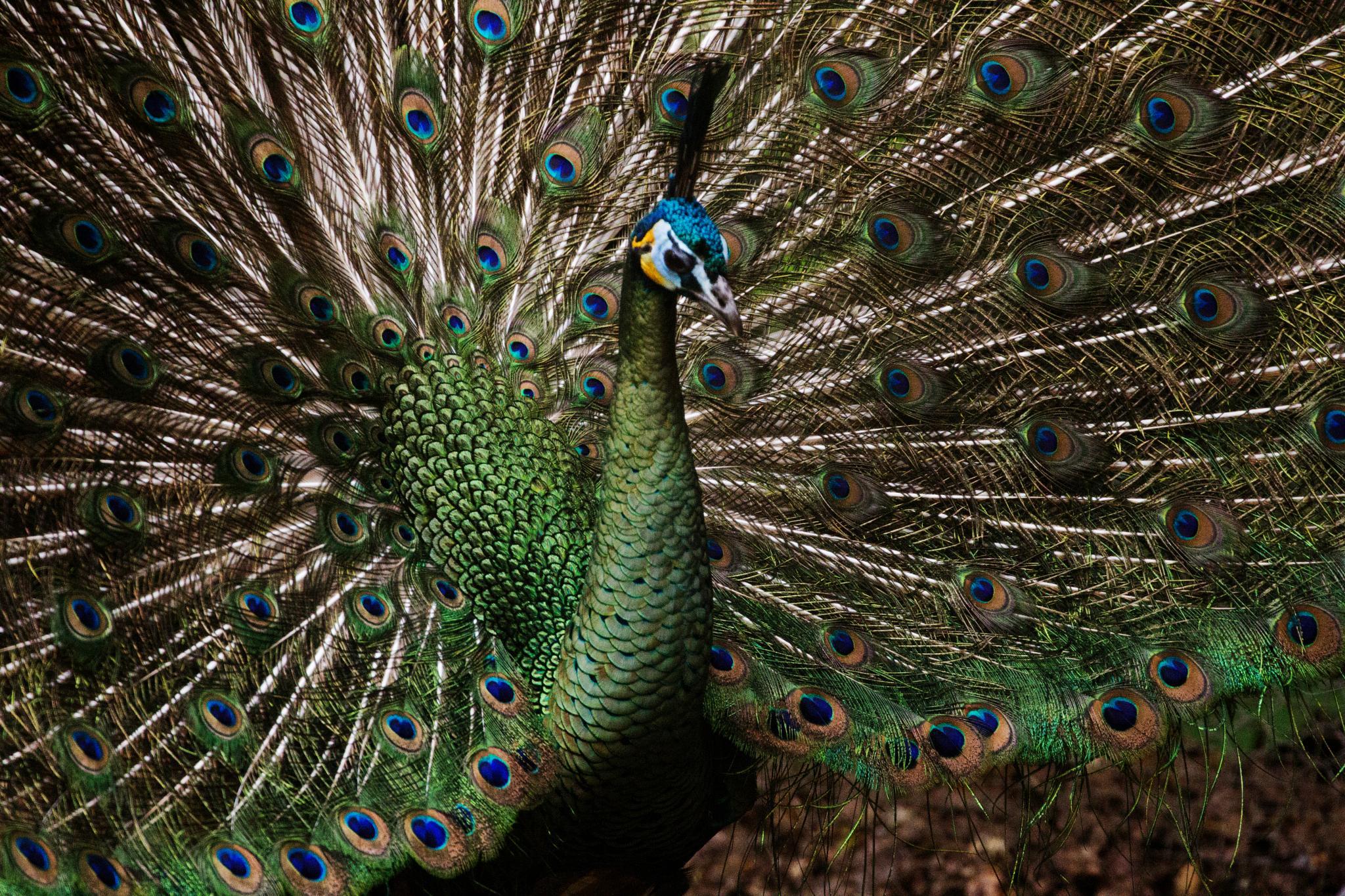 Green Peacock by Nikki Wilson