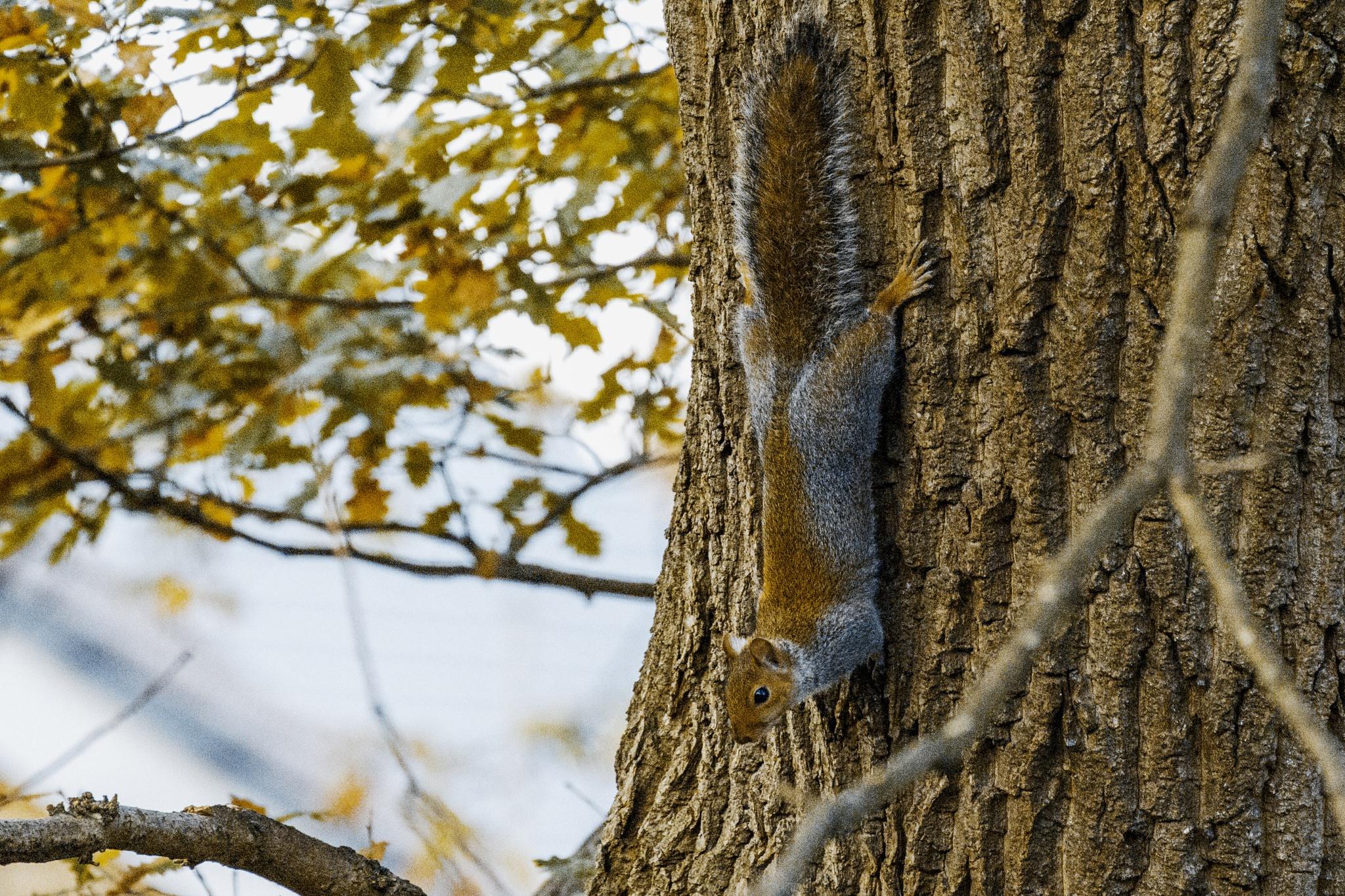 Grey Squirrel by Nikki Wilson