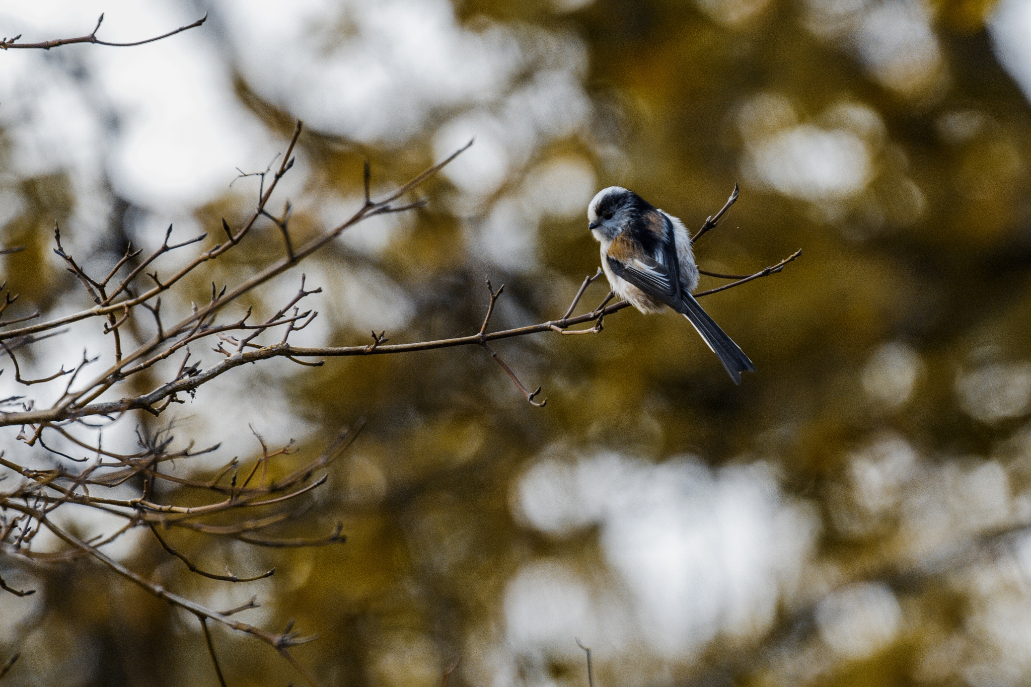 Long Tailed Tit by Nikki Wilson