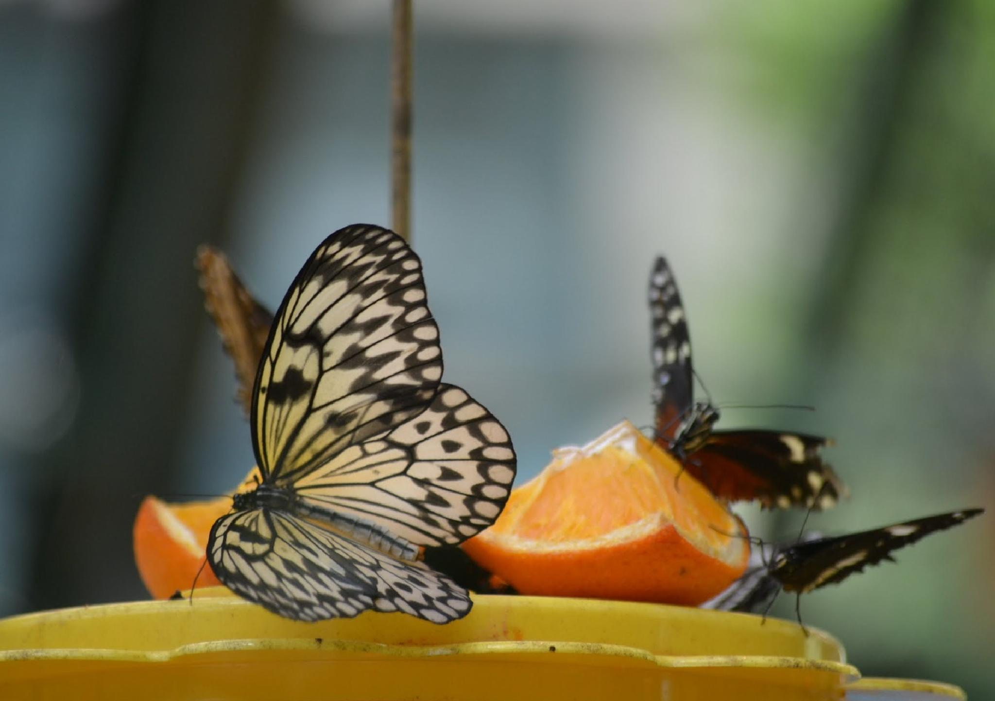 Butterfly Sweets by Stephanie Miller