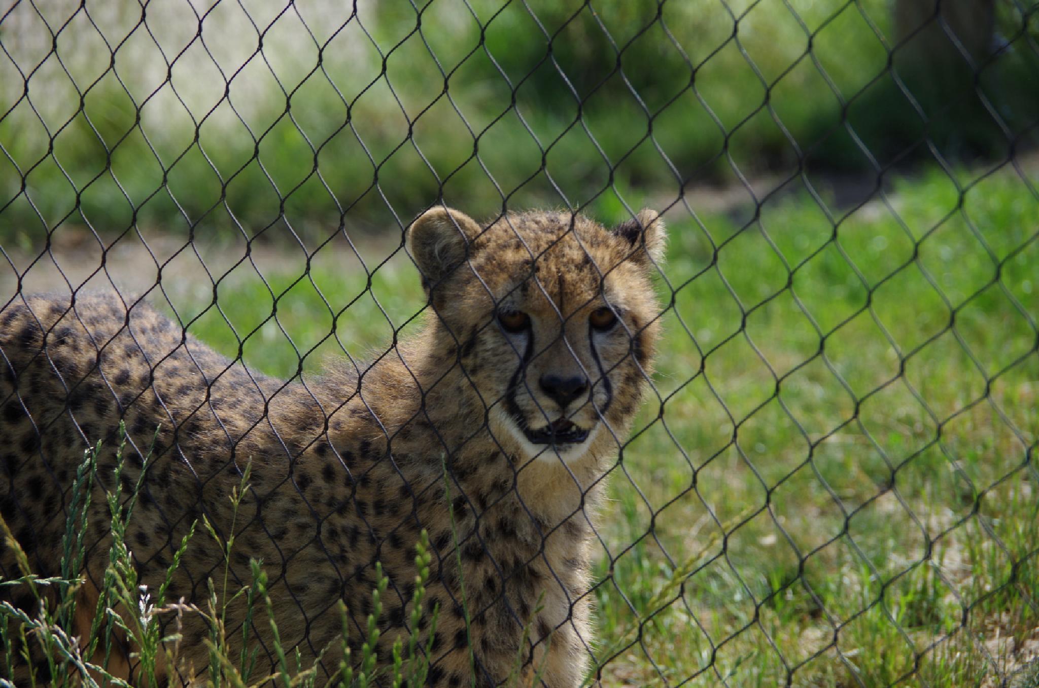 Cheetah by david.lowe.3532507