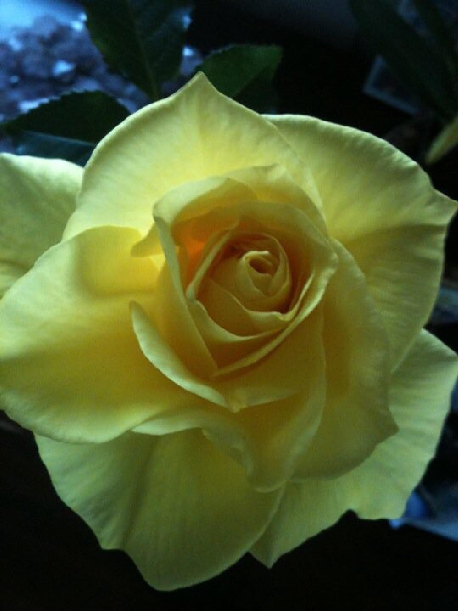Yellow Rose Of Happiness by alana.cini