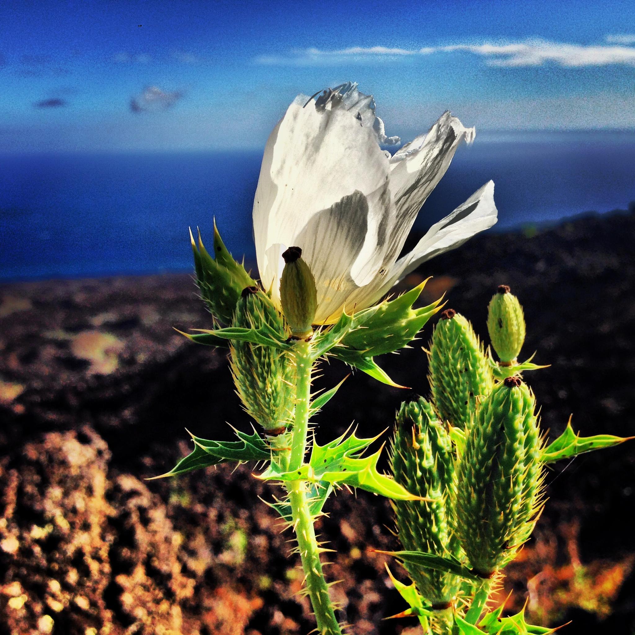 Maui Poppy by alana.cini