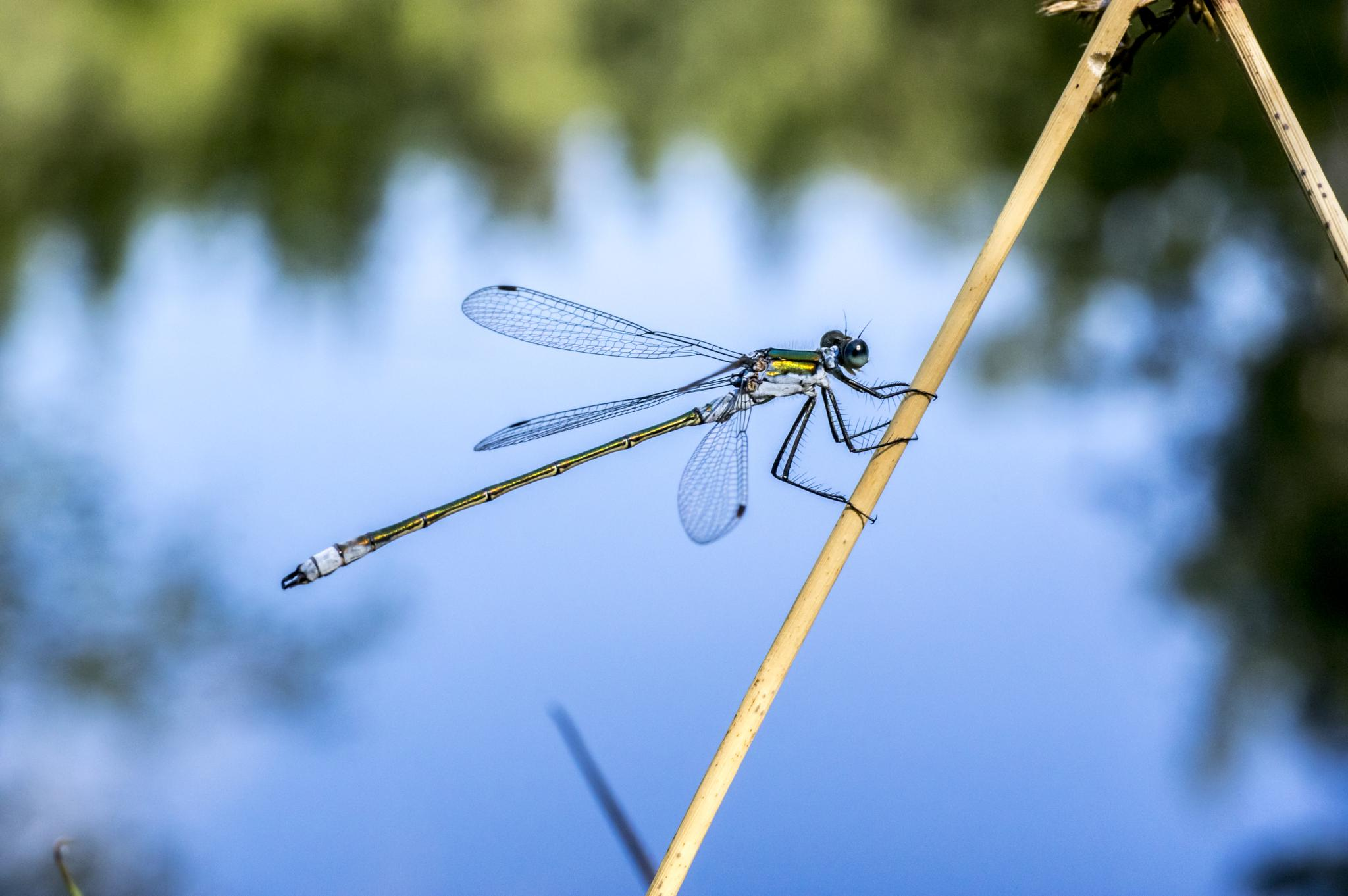 dragonfly by the pond by gorber