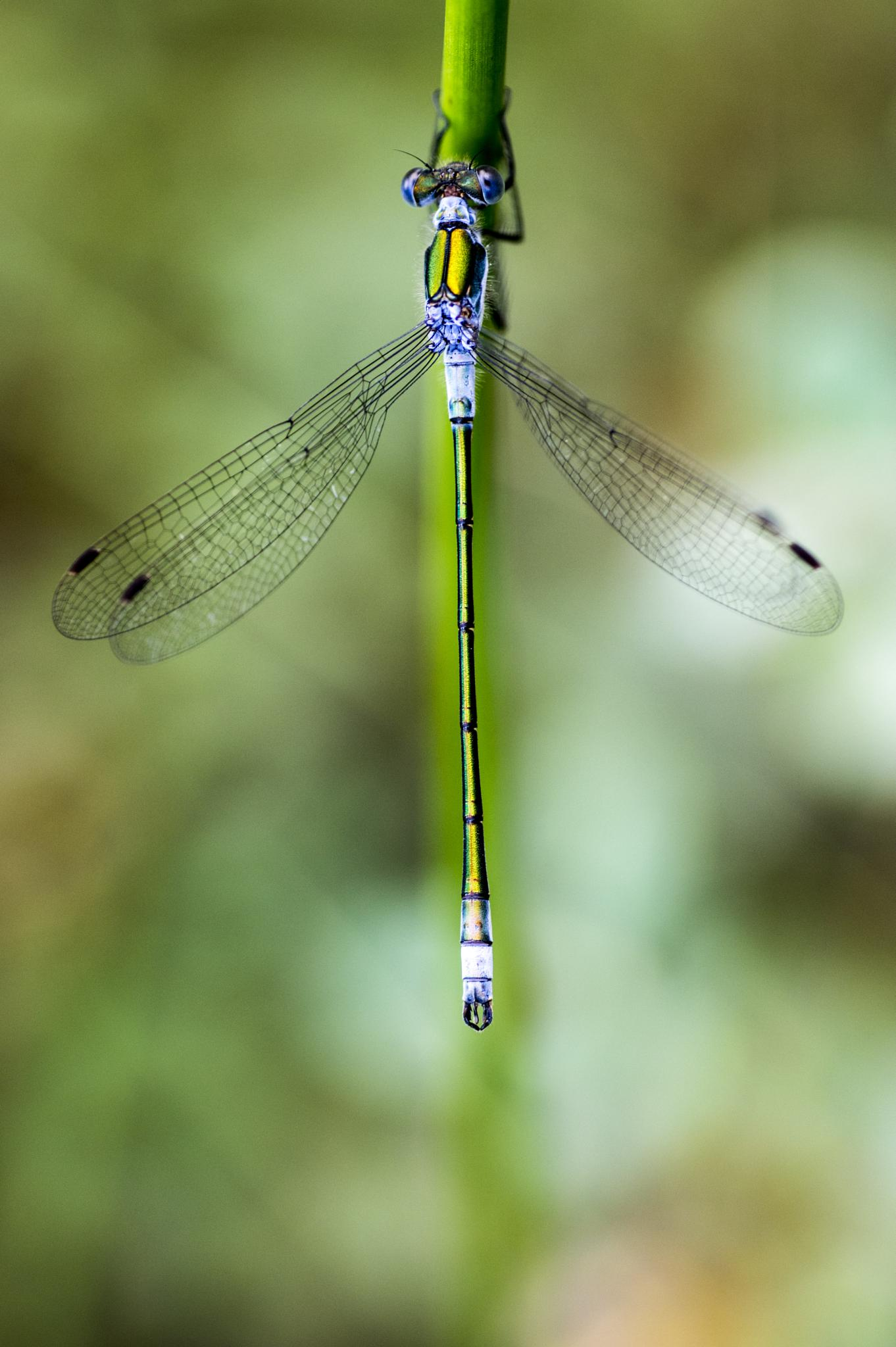 baby dragonfly by gorber