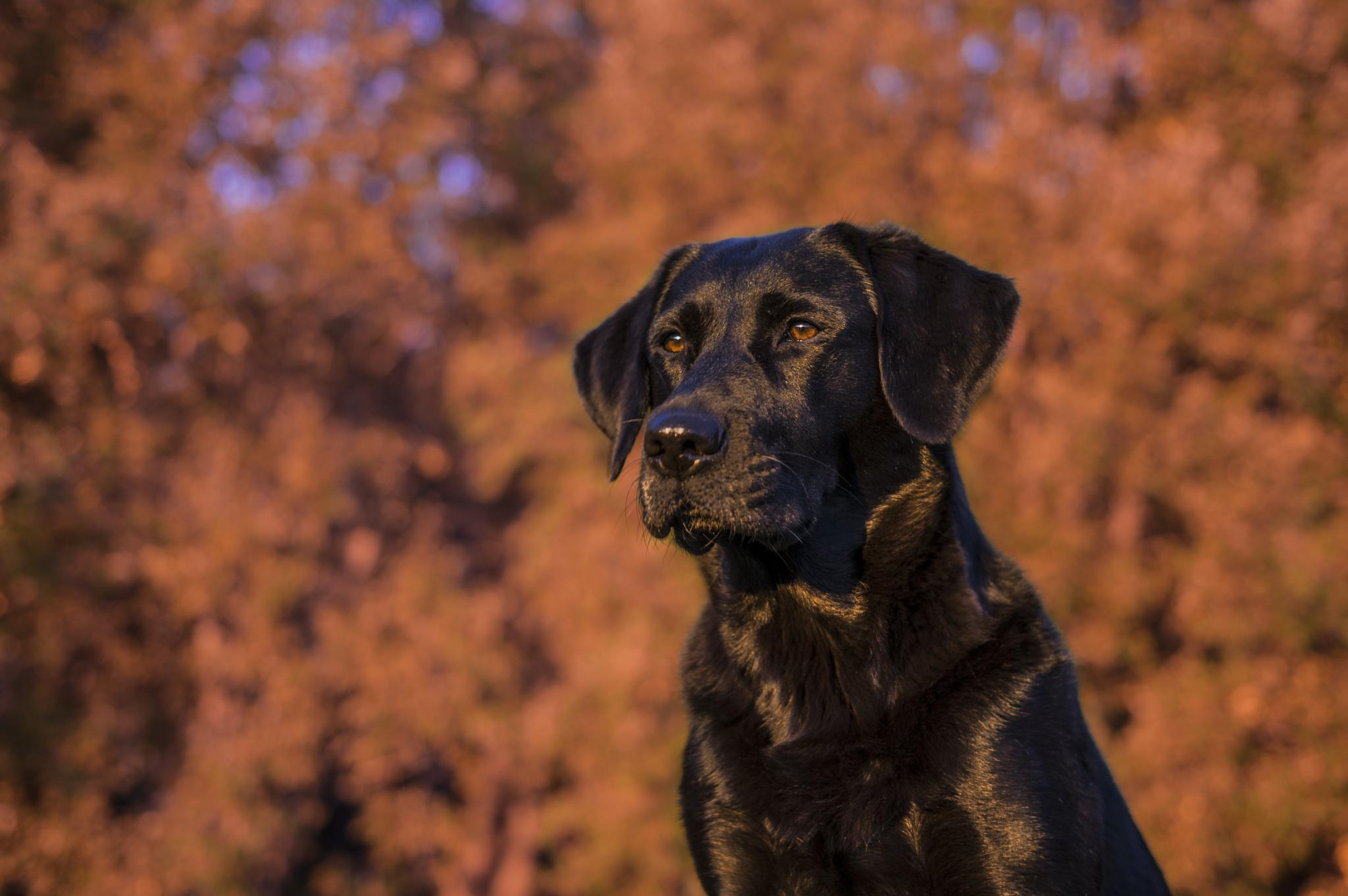 Golden hour dog by gorber