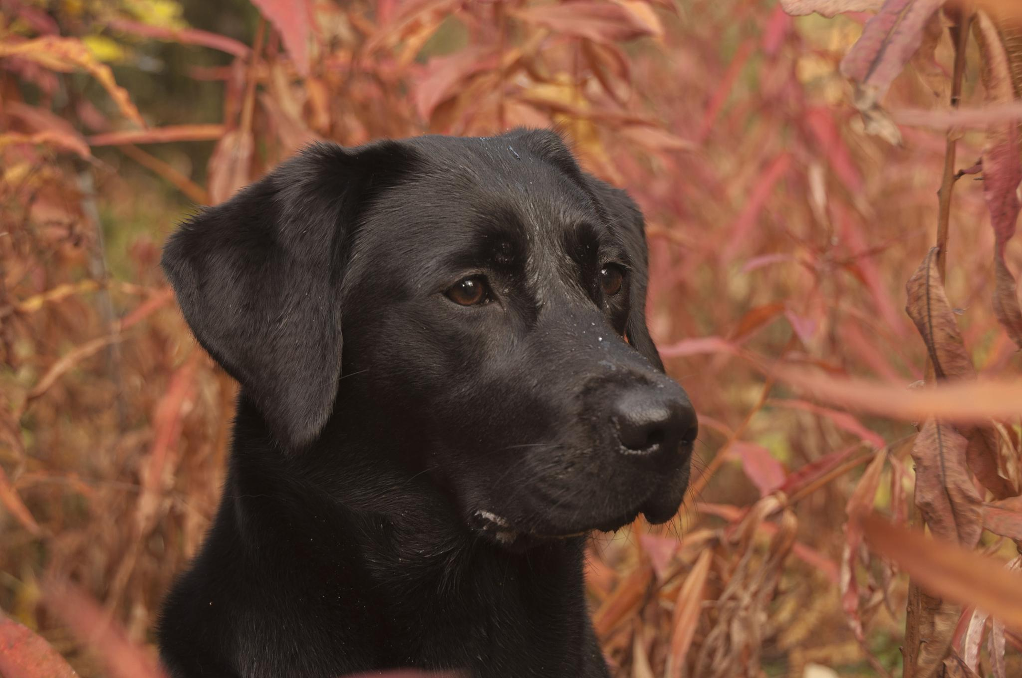 labrador in the weed by gorber