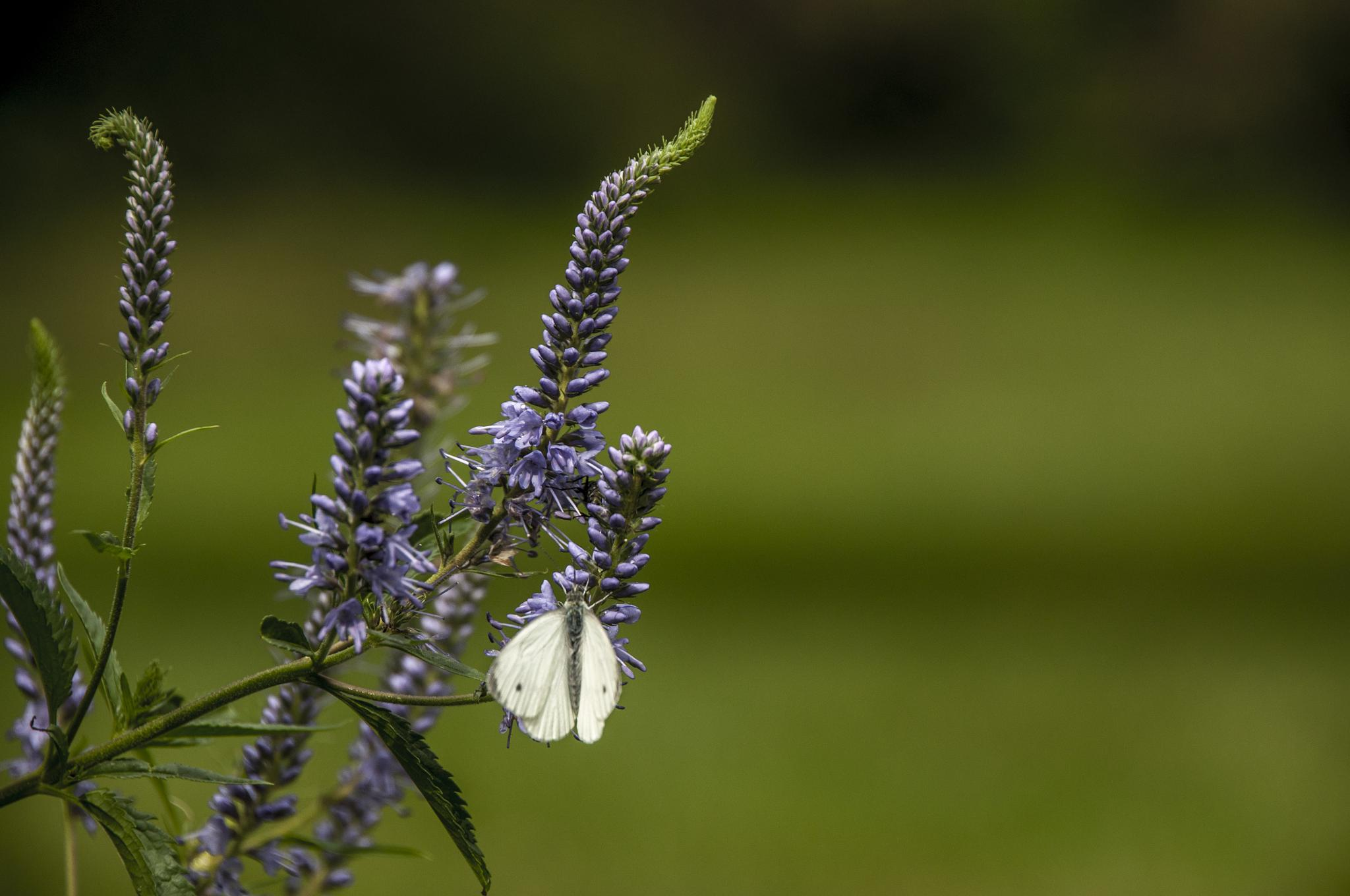 white butterfly in the green by gorber