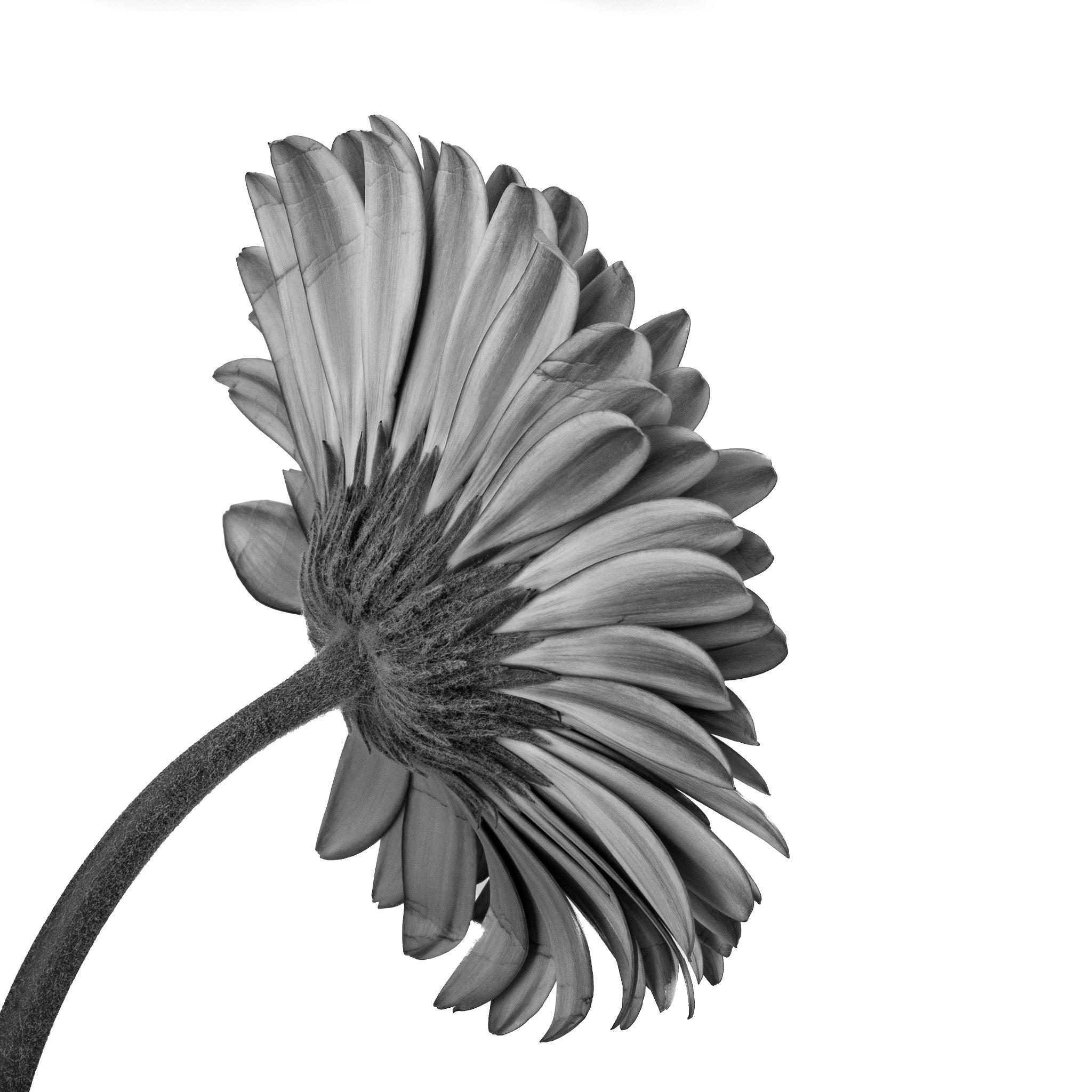 no color flower by TonBoelaars