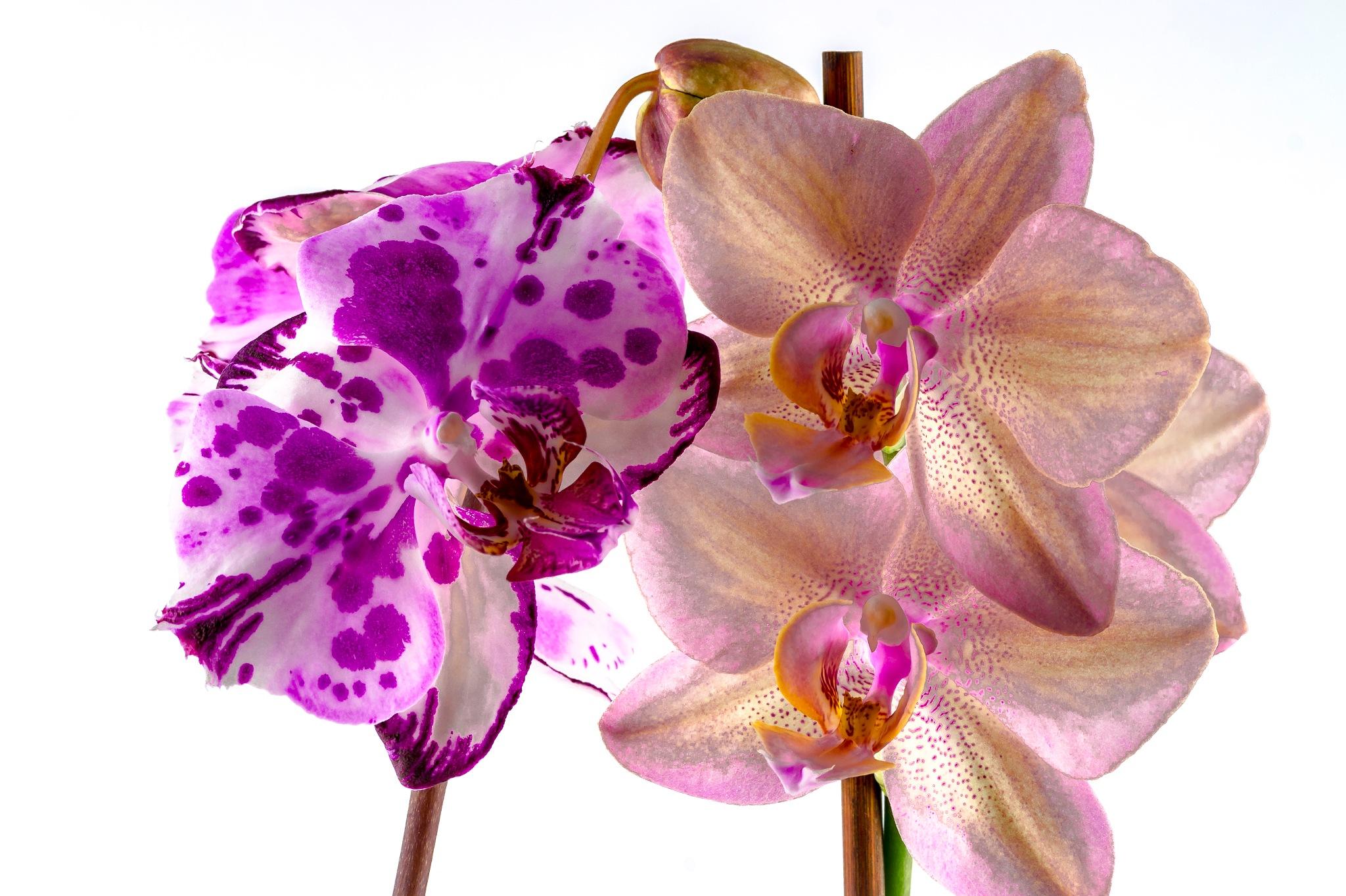 Orchidee by TonBoelaars