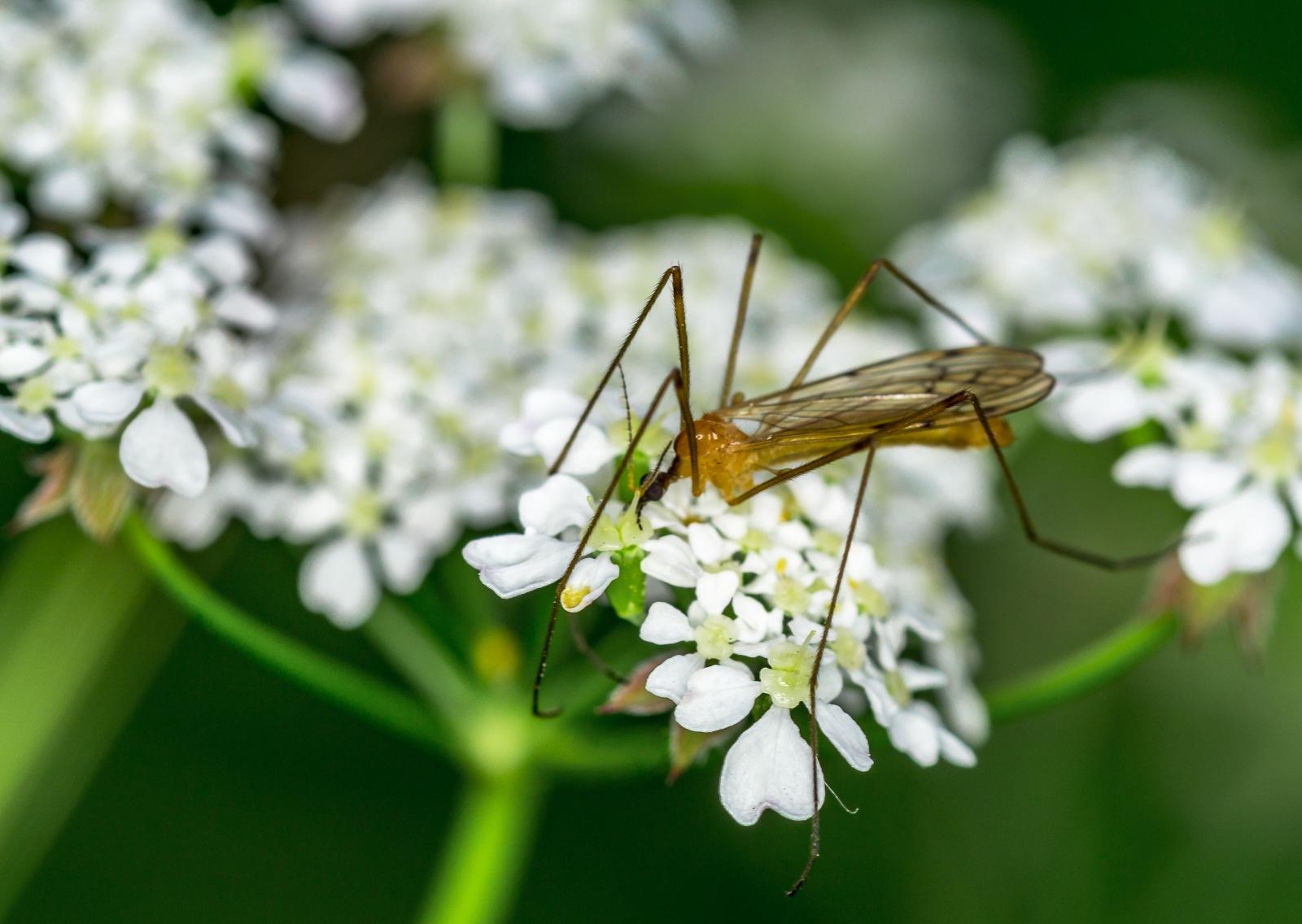 mosquito by TonBoelaars