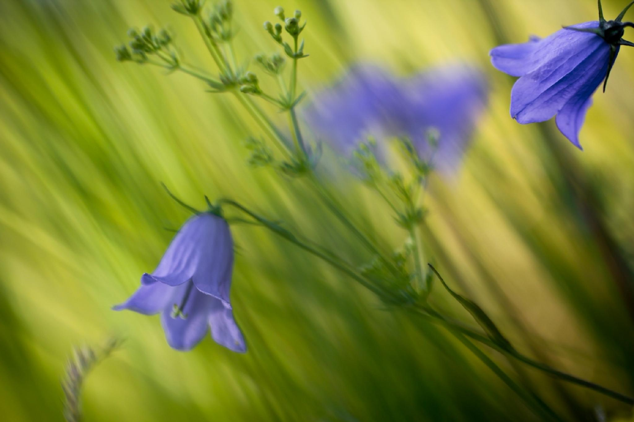 bluebell  by KristinaSA