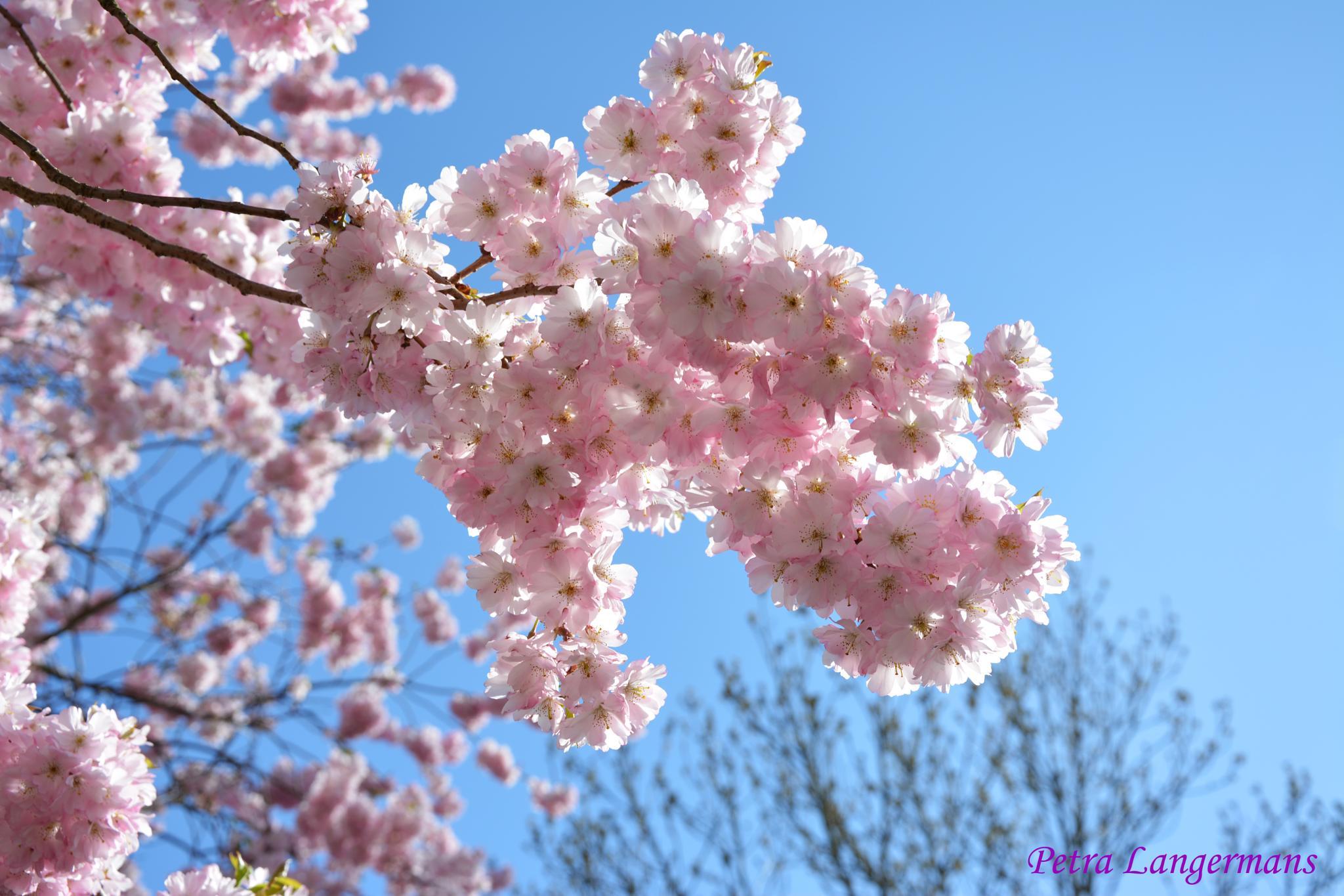 Blossom by ananda.dasi.7