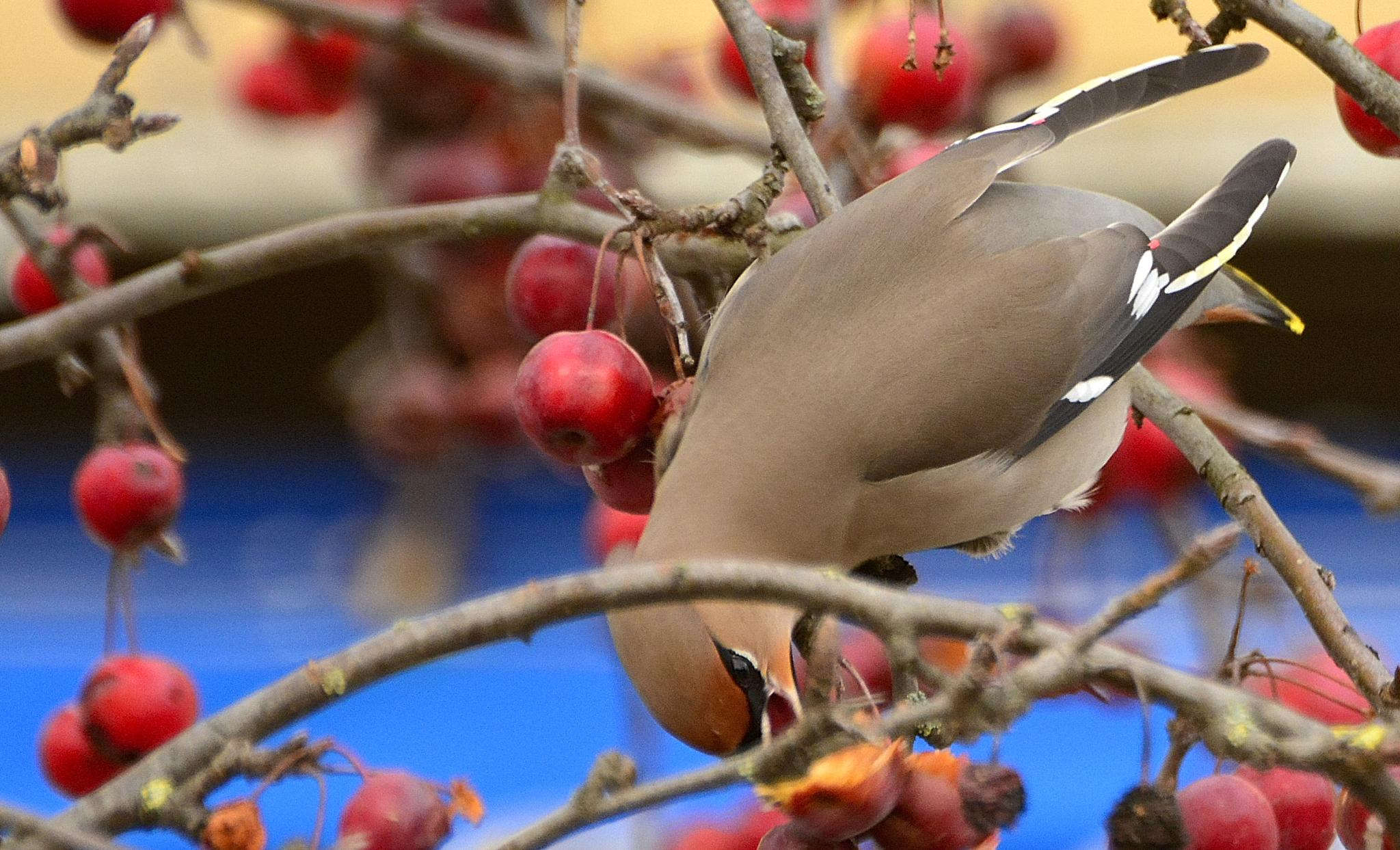 waxwing with berry by john.hutters