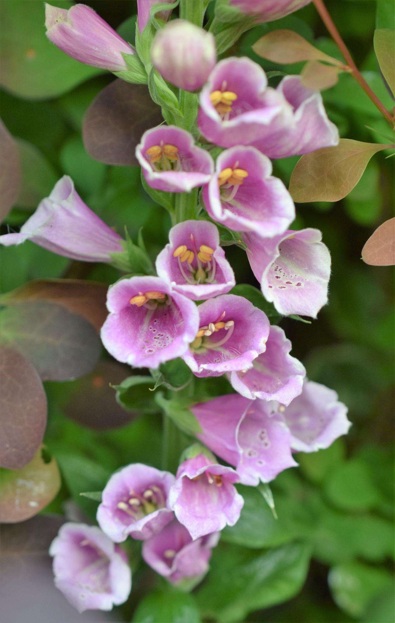 Photo in Macro #foxglove #nature #macro #garden #flowers #plant #colour