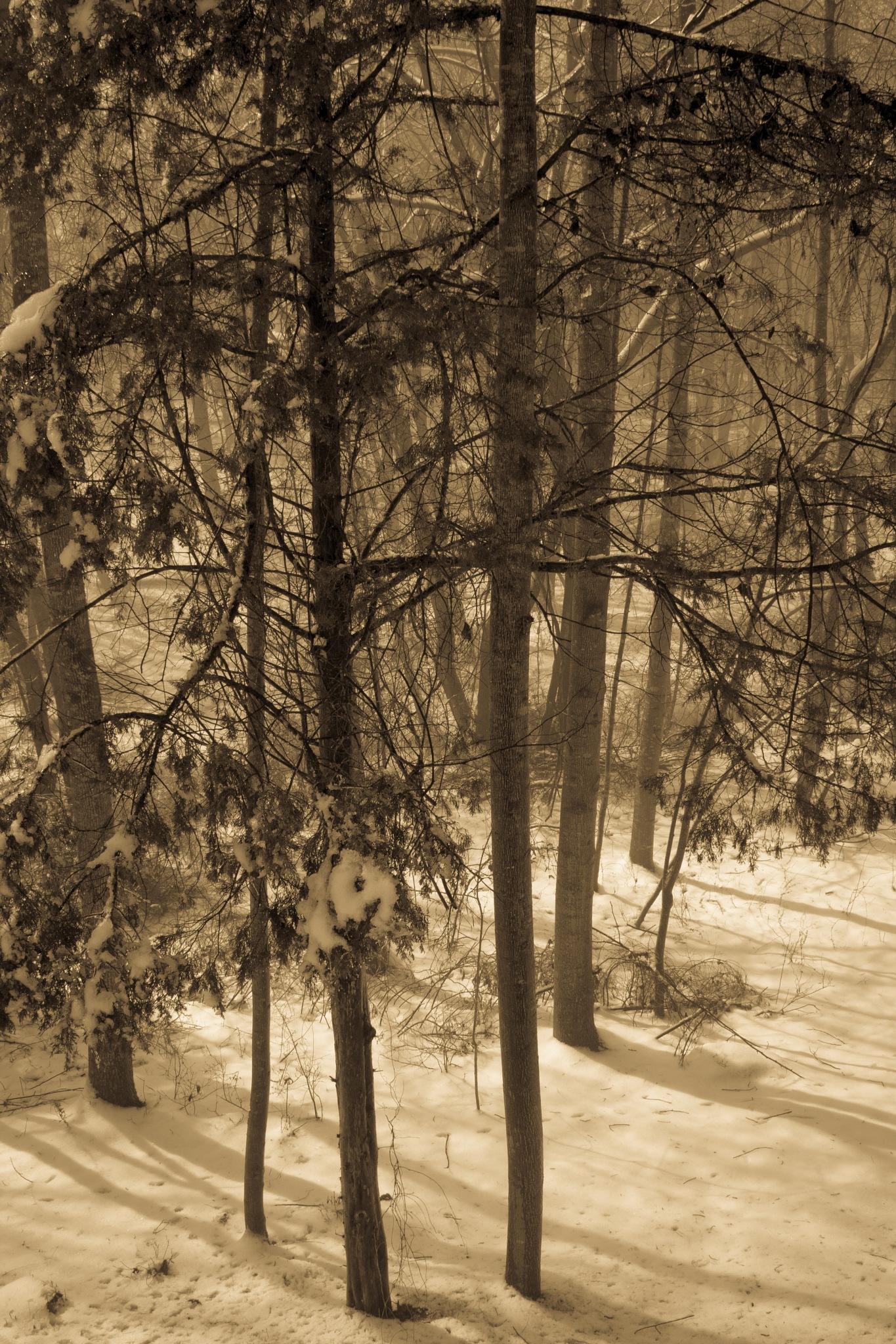 winter woods by bette.hileman
