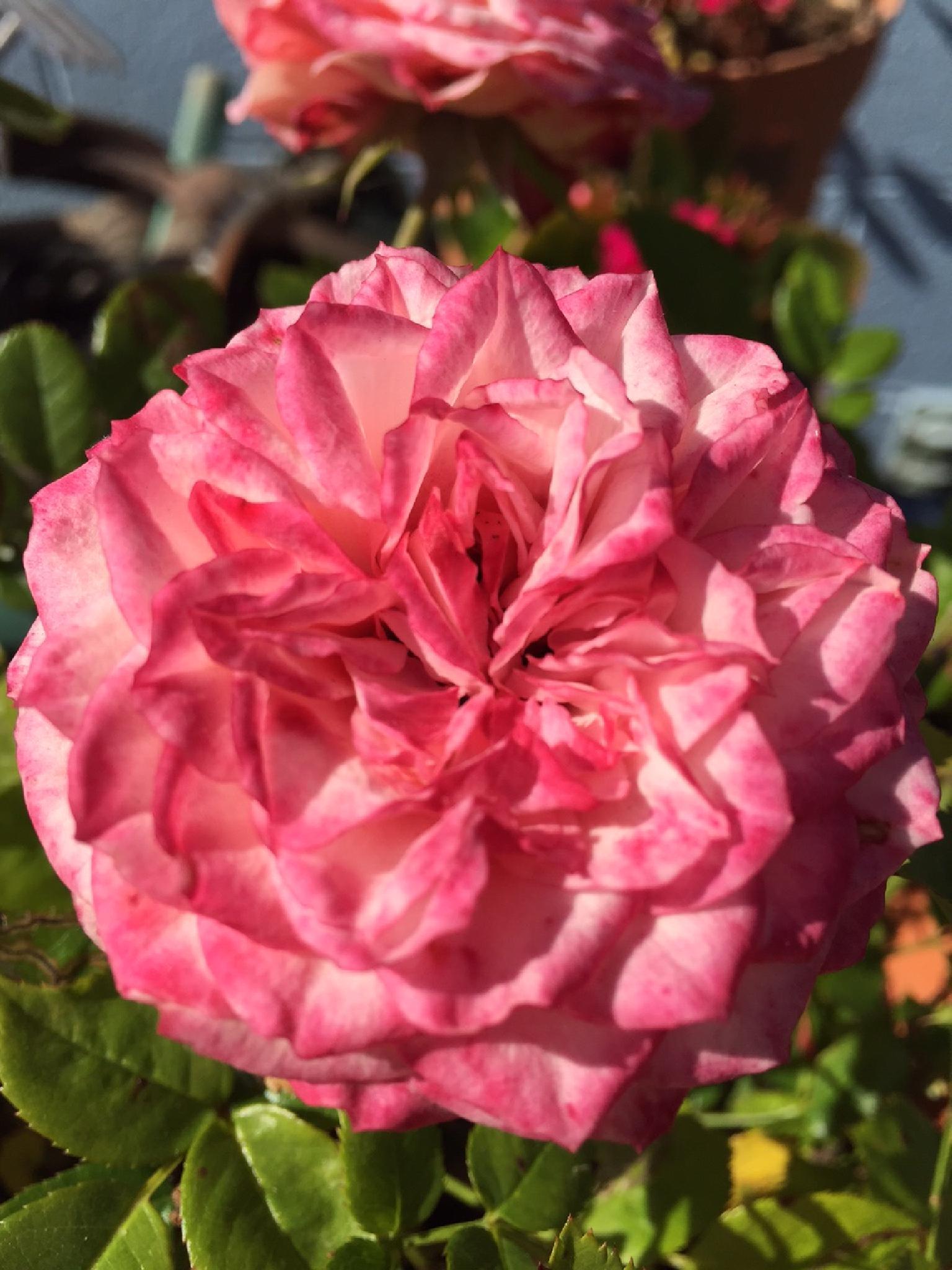 Lovely Miniature Pink Rose by beth.heynen.1