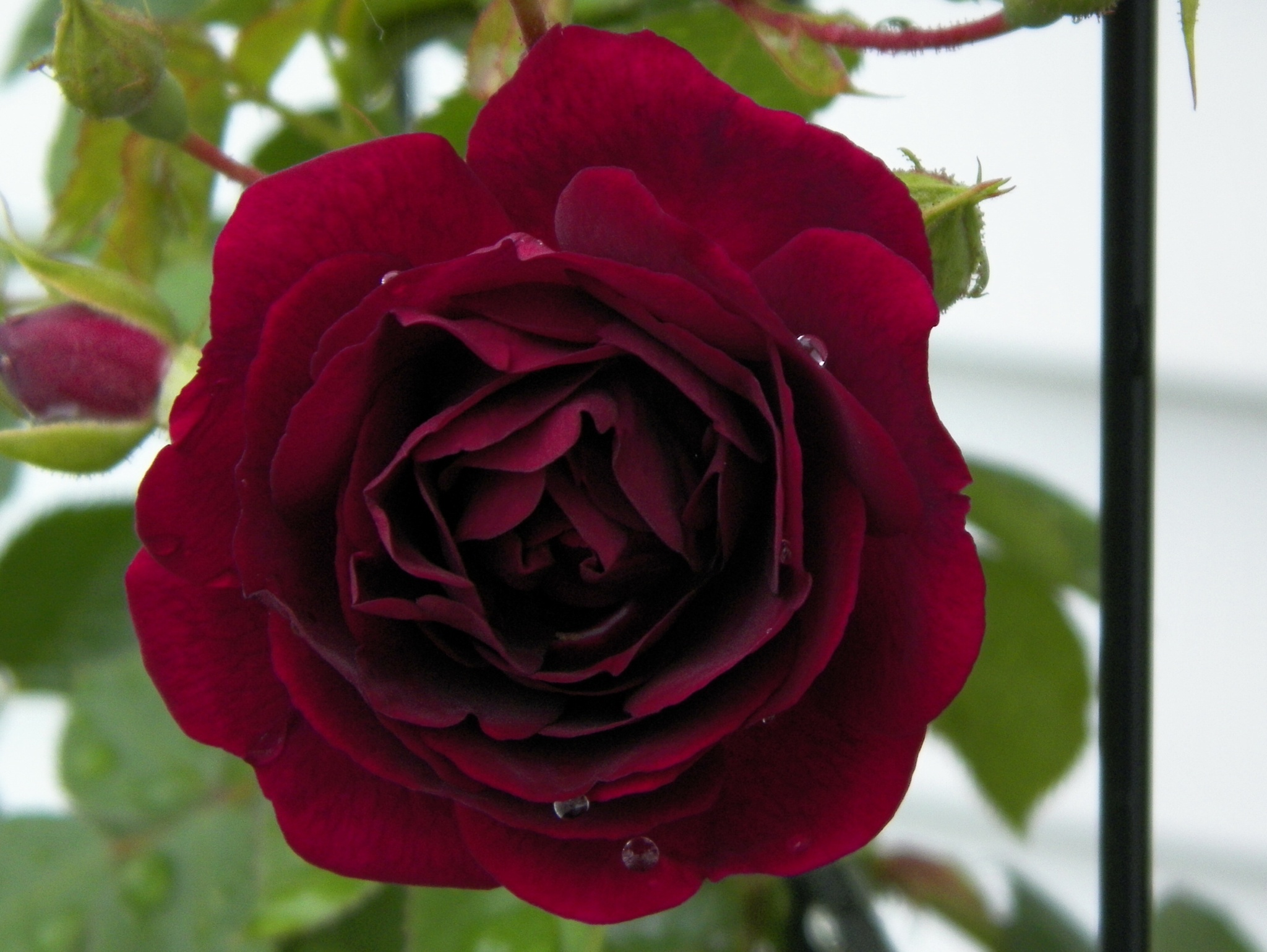 Rose by Marilyn S. Martin
