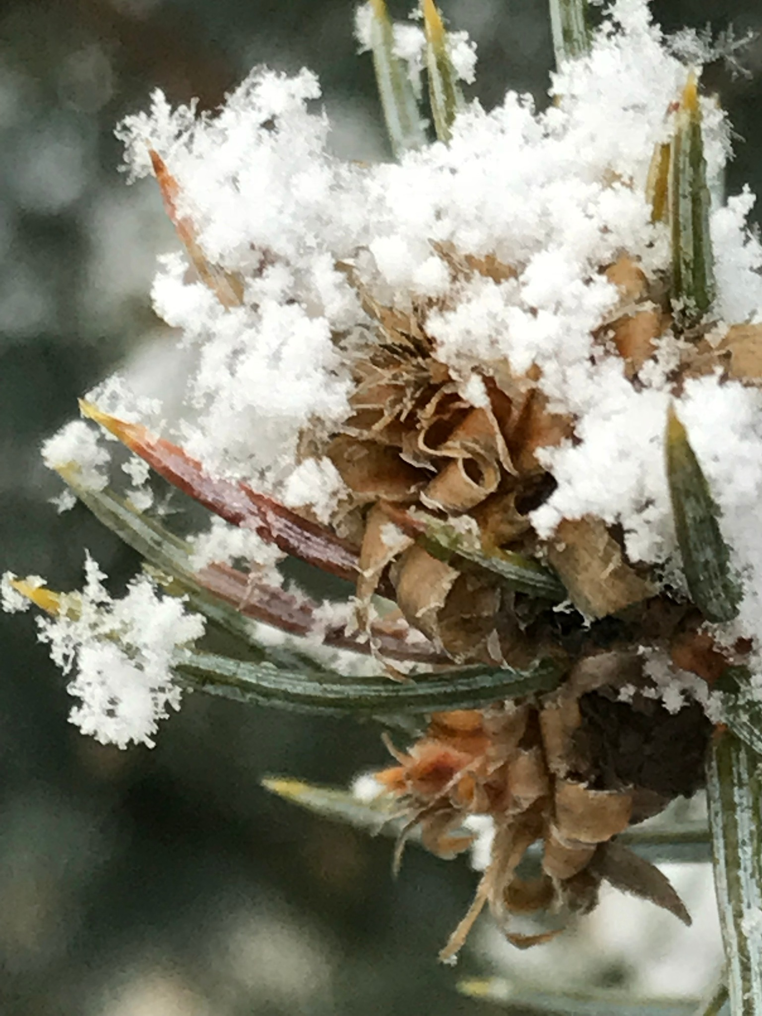 Snow on pine by Marilyn S. Martin