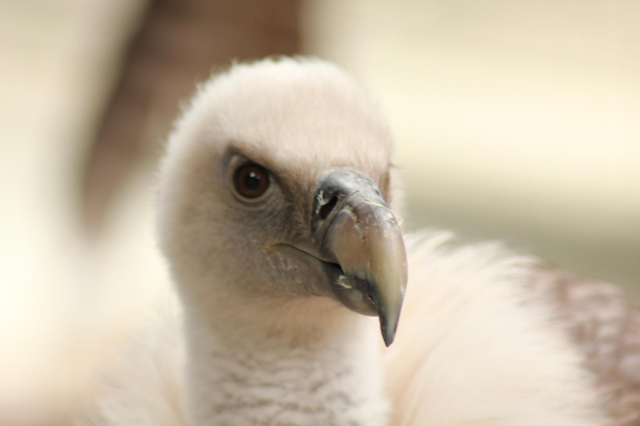 Vulture by Jimmy Magu