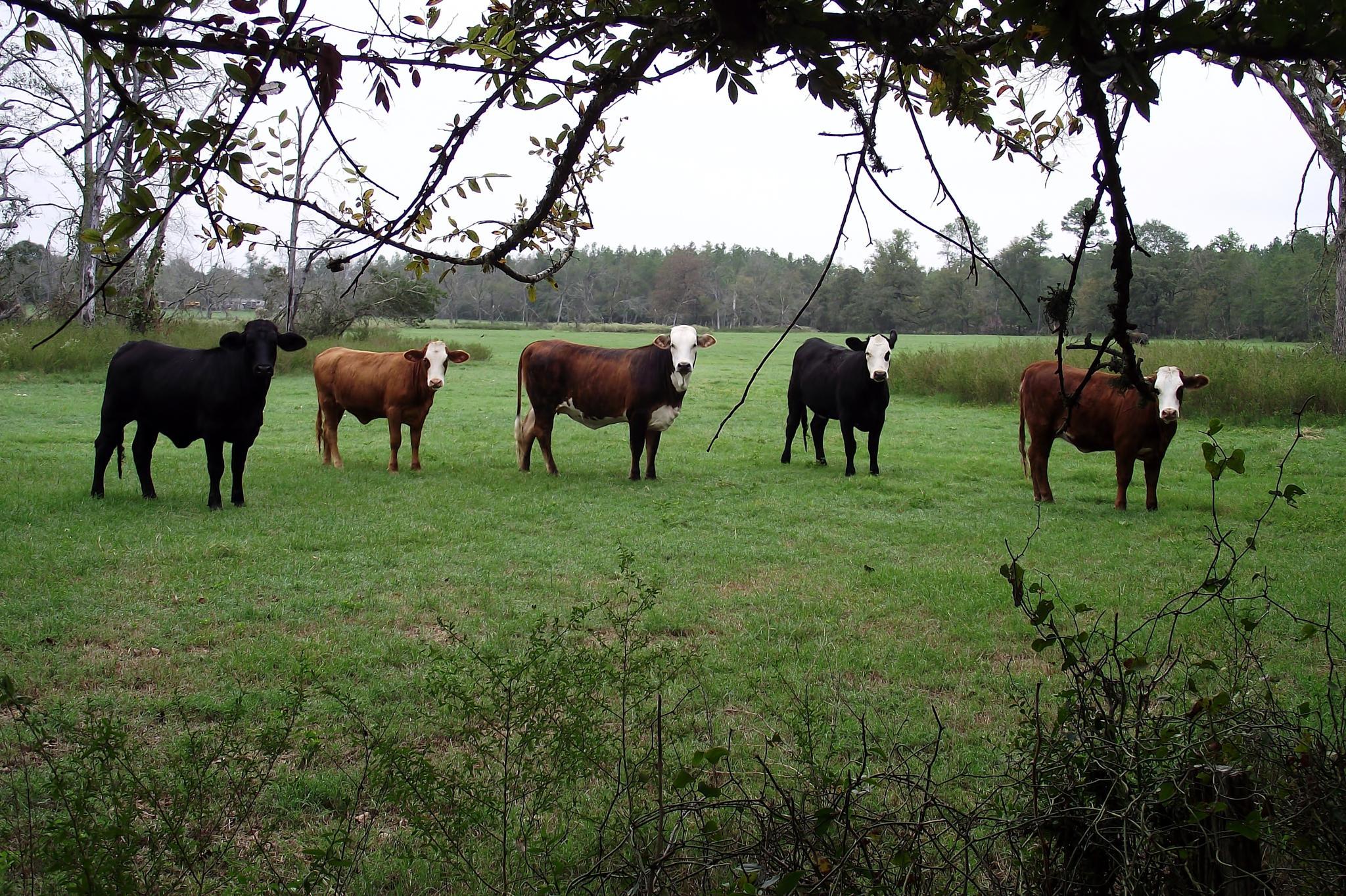 Curious Cows by khaliefox