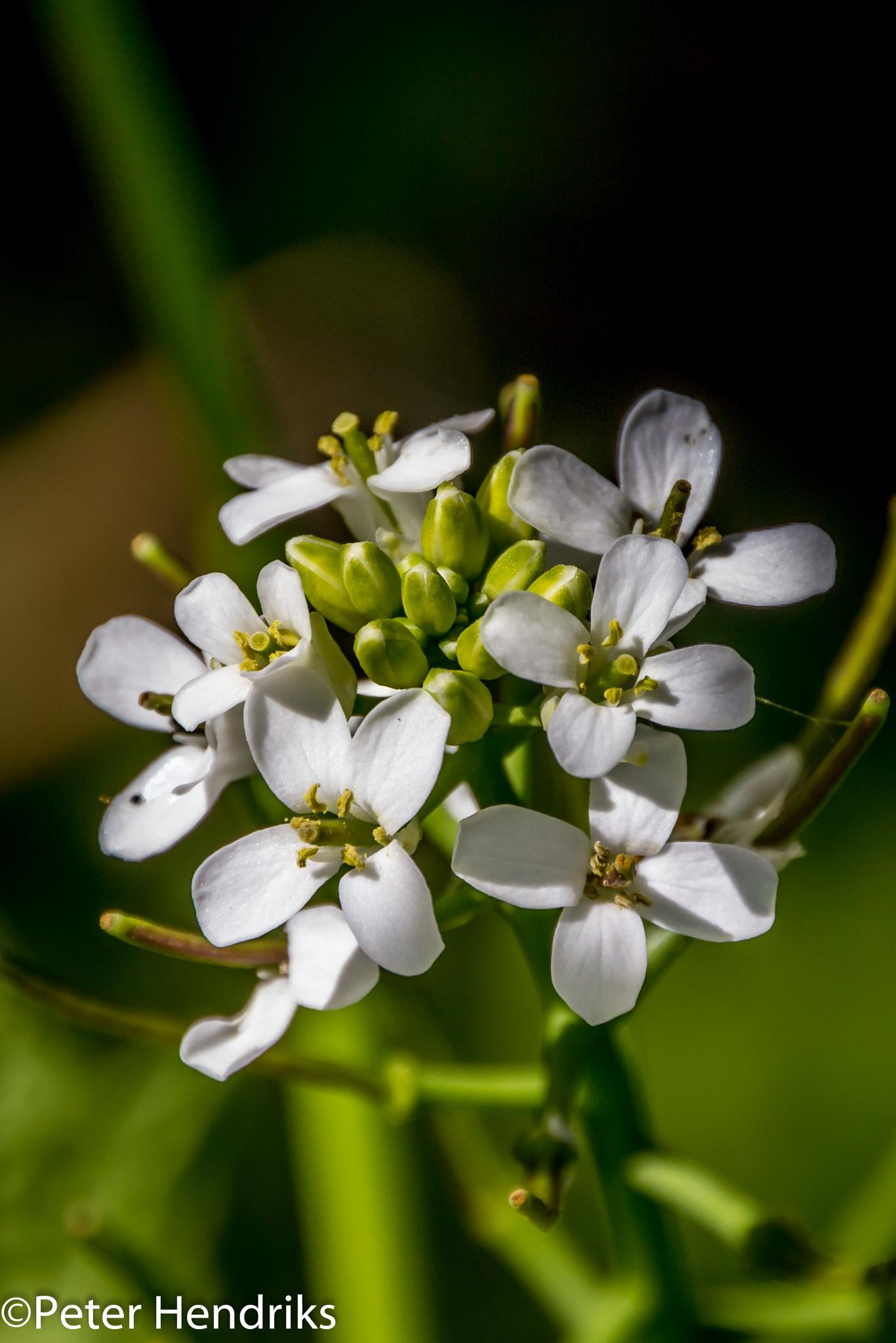 blossom12 by Peter Hendriks