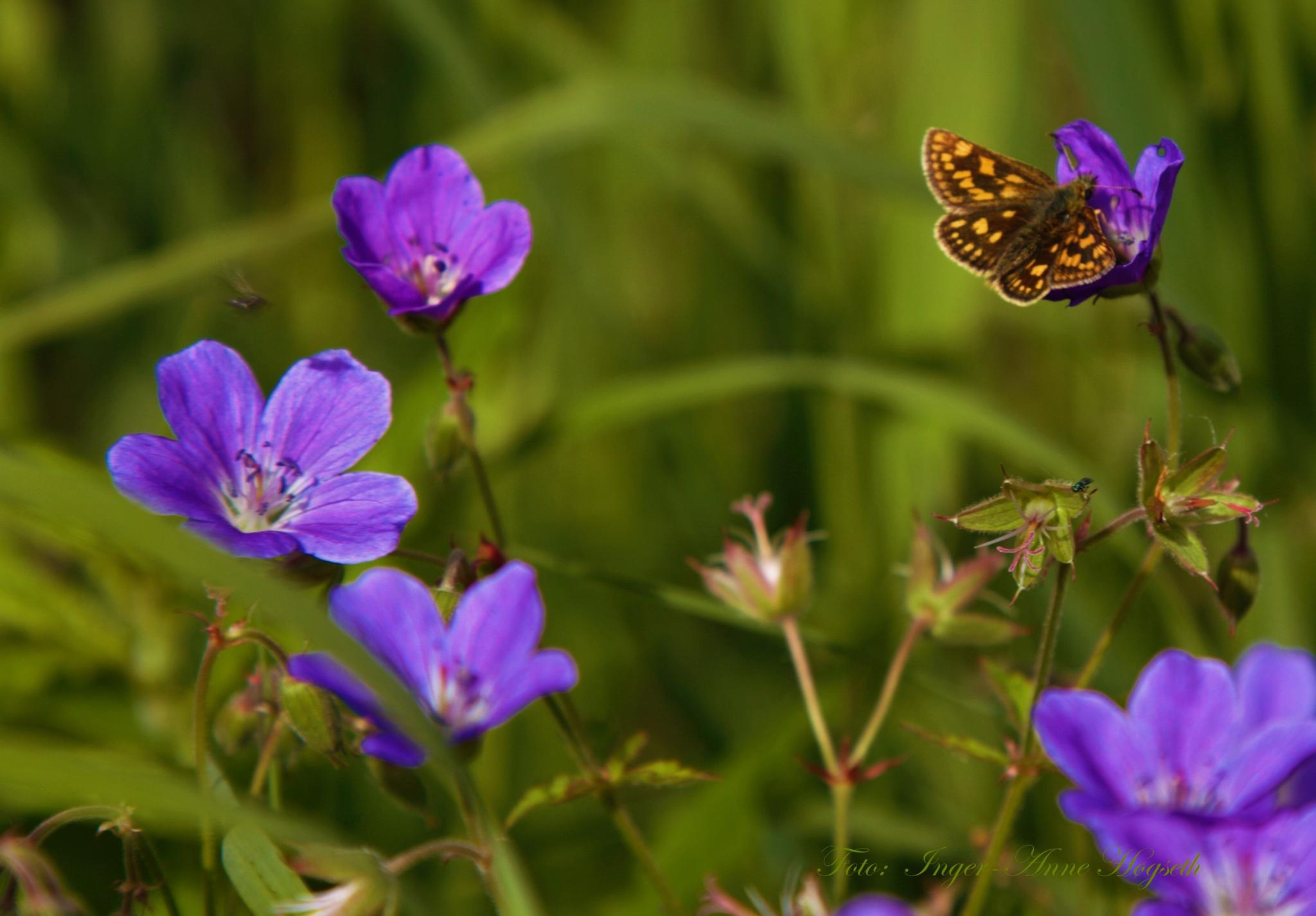 Butterfly by IngerAnneHogseth
