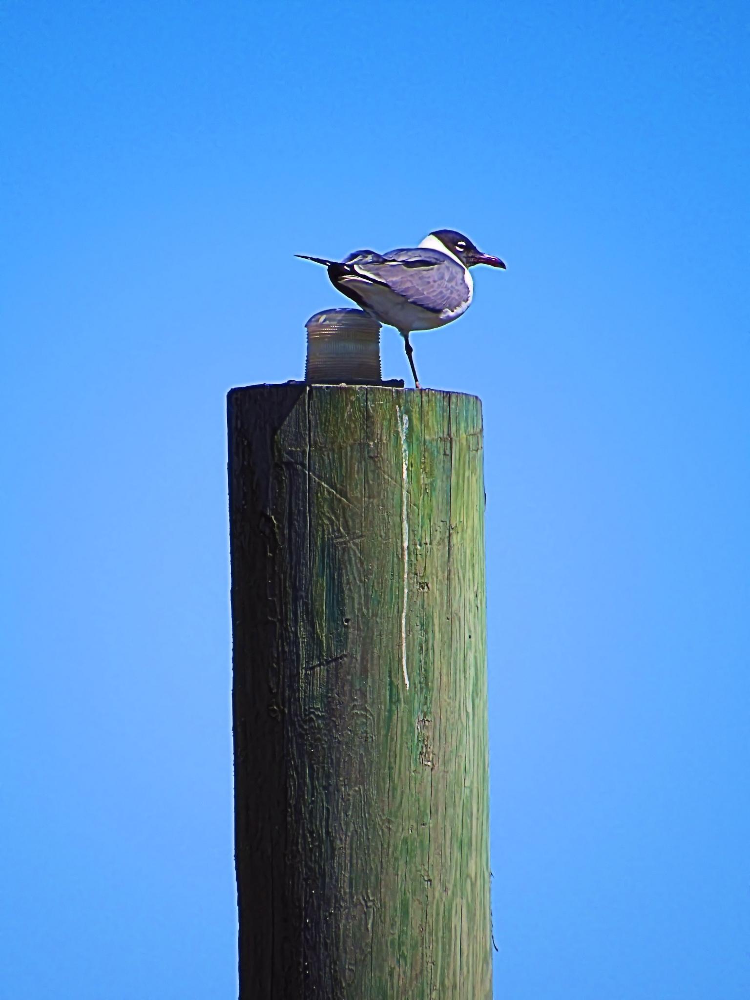 Laughing Gull by irocdavid