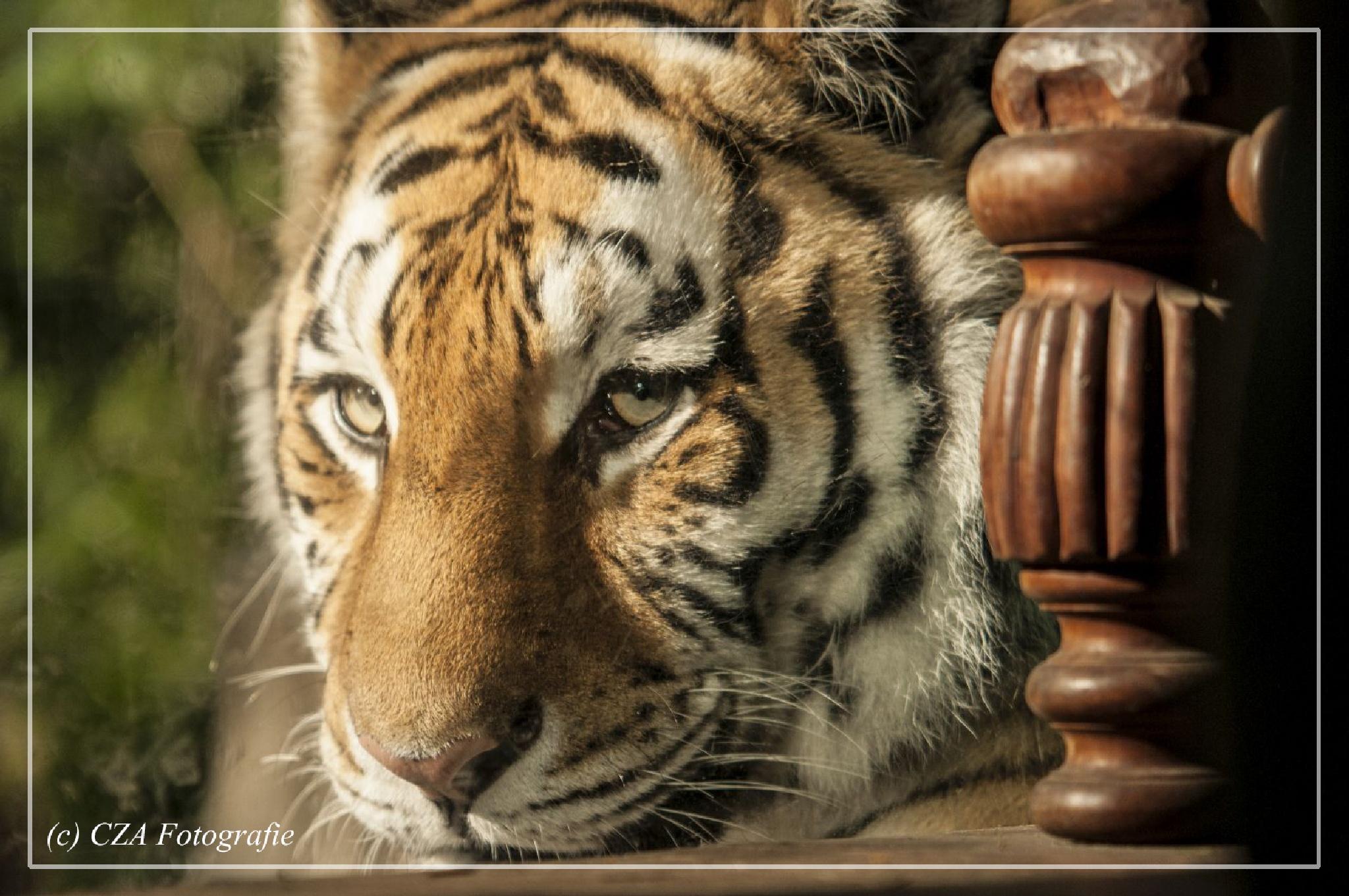 Tiger by cza-fotografie