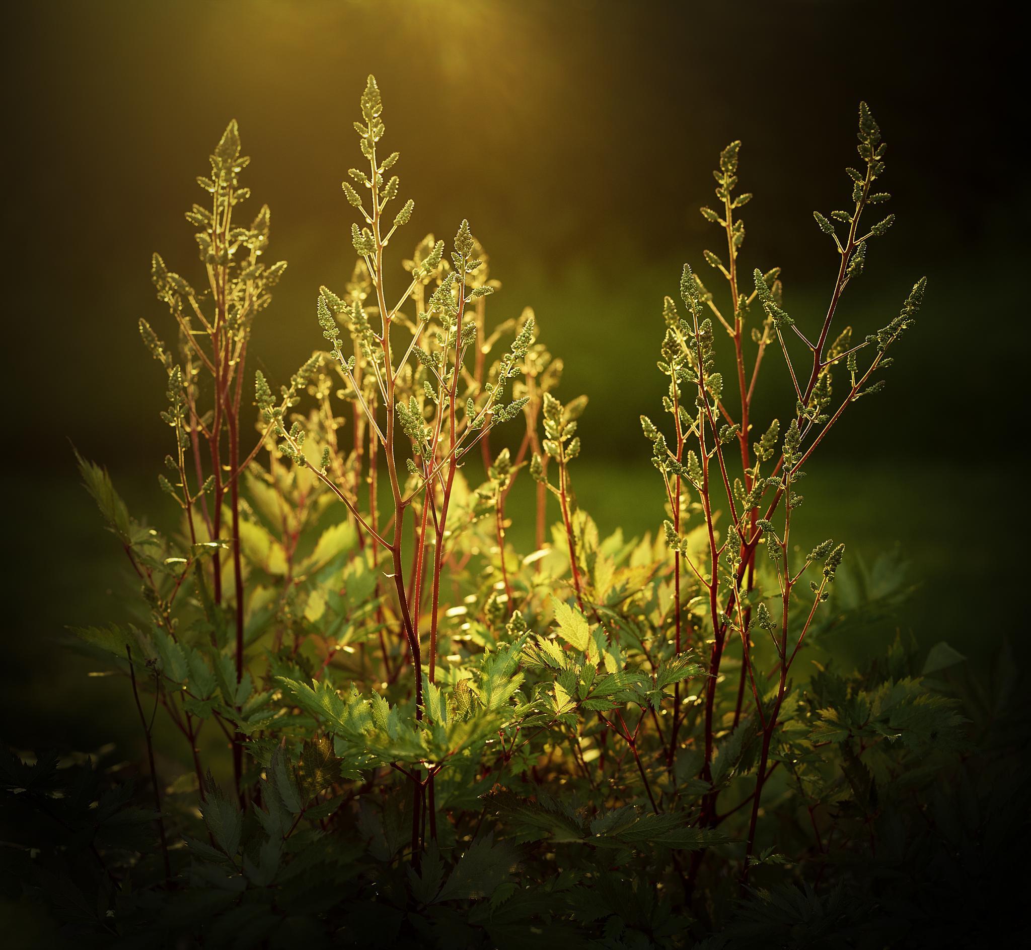 Evening light, Astilbe by Christina Edursdotter