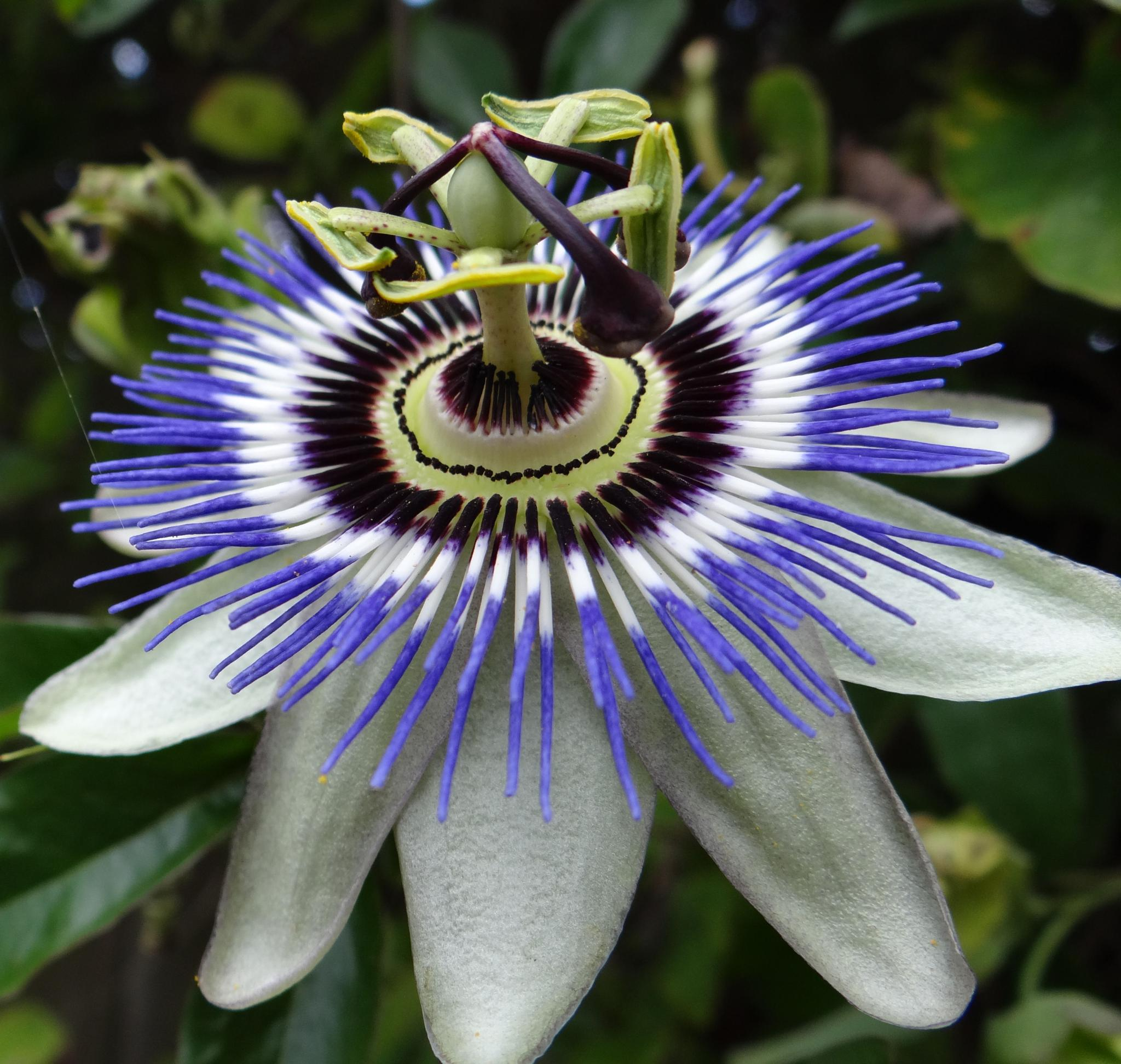 Photo in Nature #garden #flowers #passion #ornamental