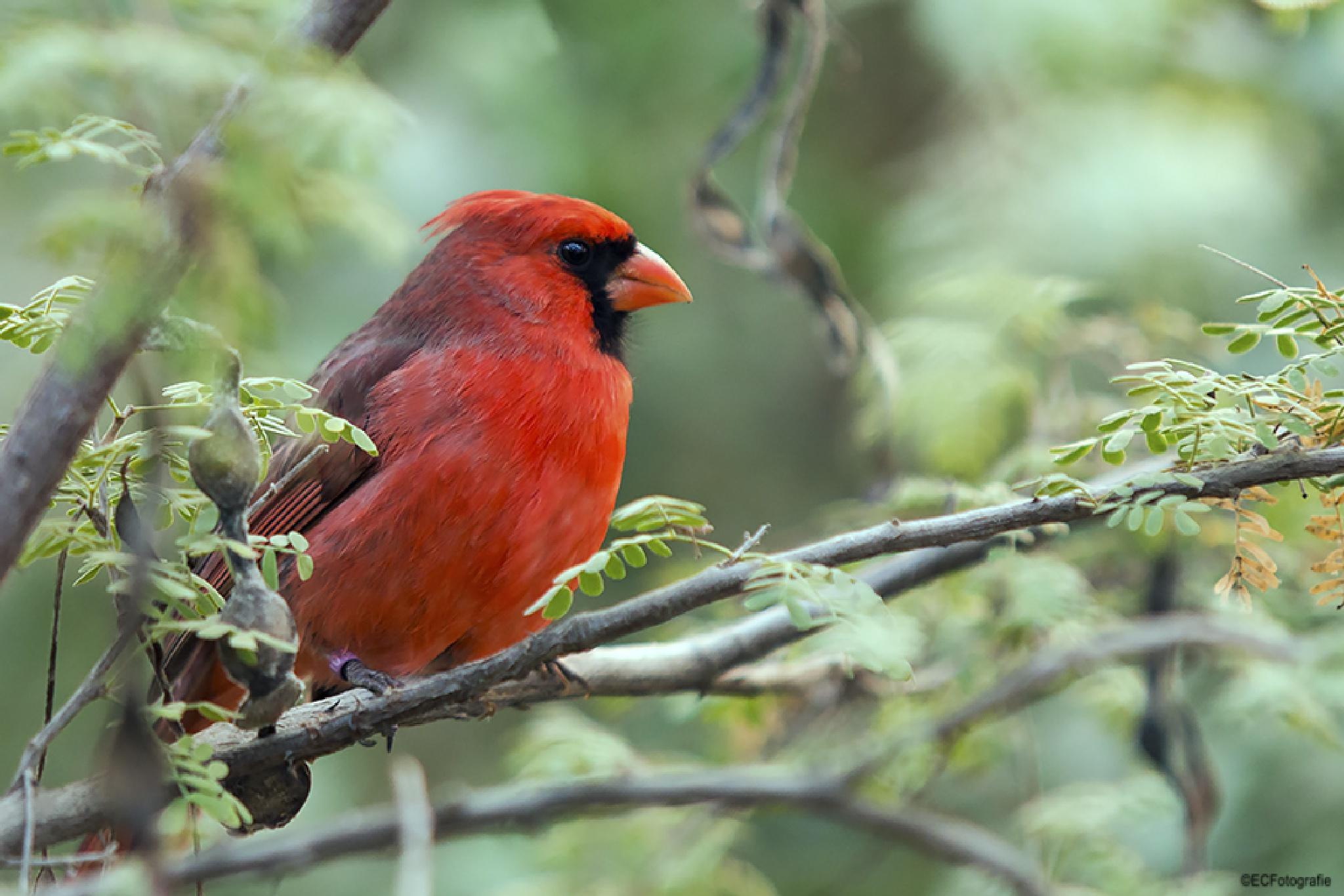 Red Kardinal by eelke.cooiman