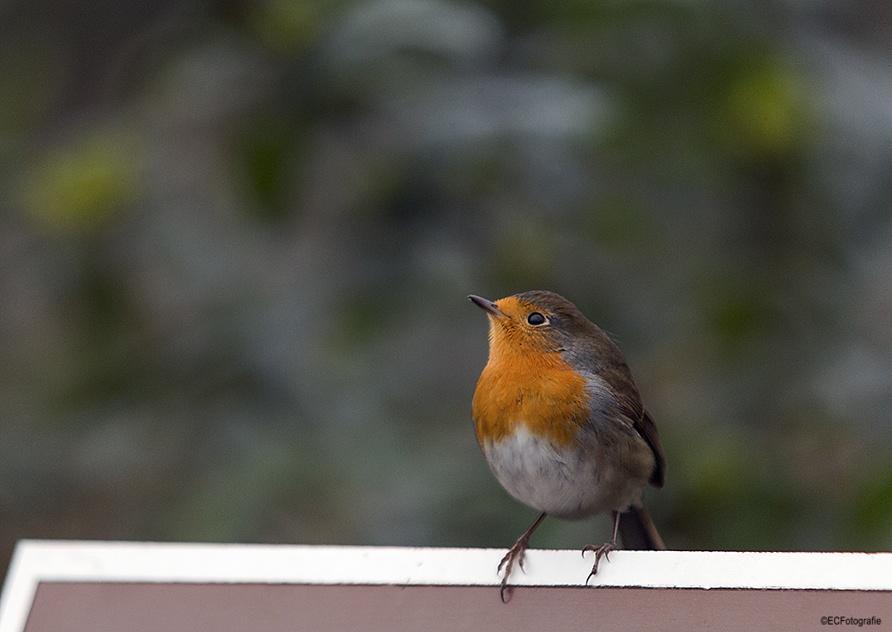 Robin by eelke.cooiman